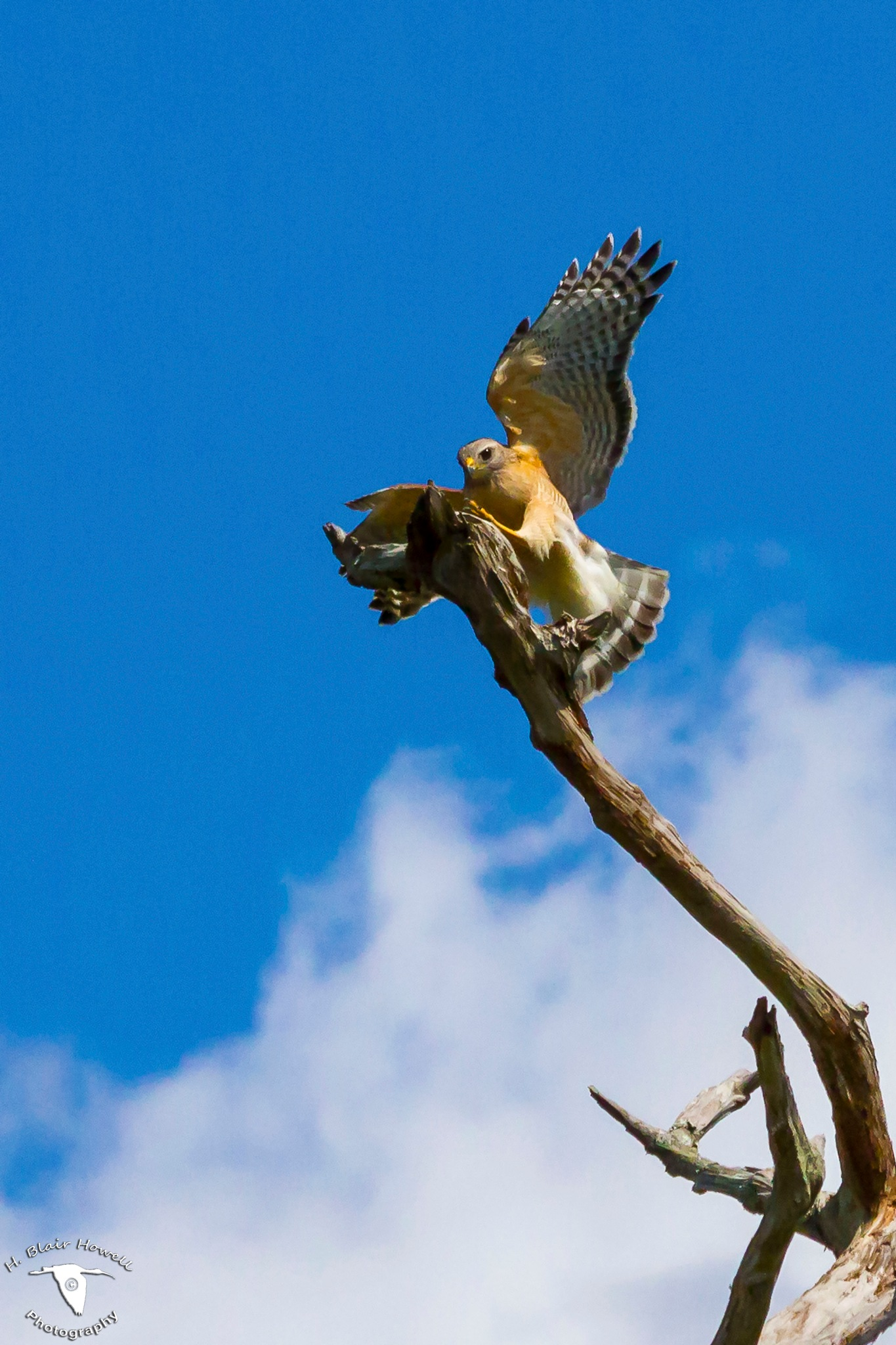 Red-Shouldered Hawk (Buteo lineatus) by HBlairHowell