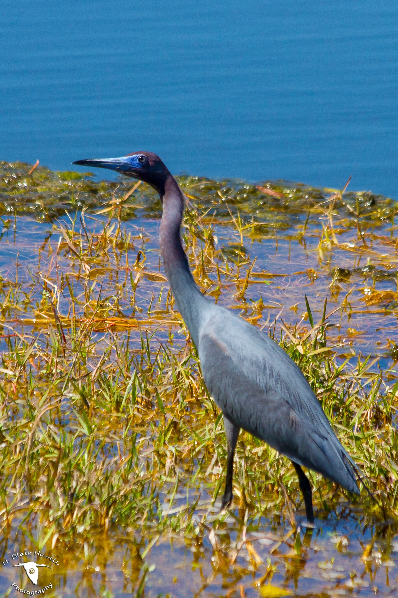Little Blue Heron (Egretta caerulea) by HBlairHowell