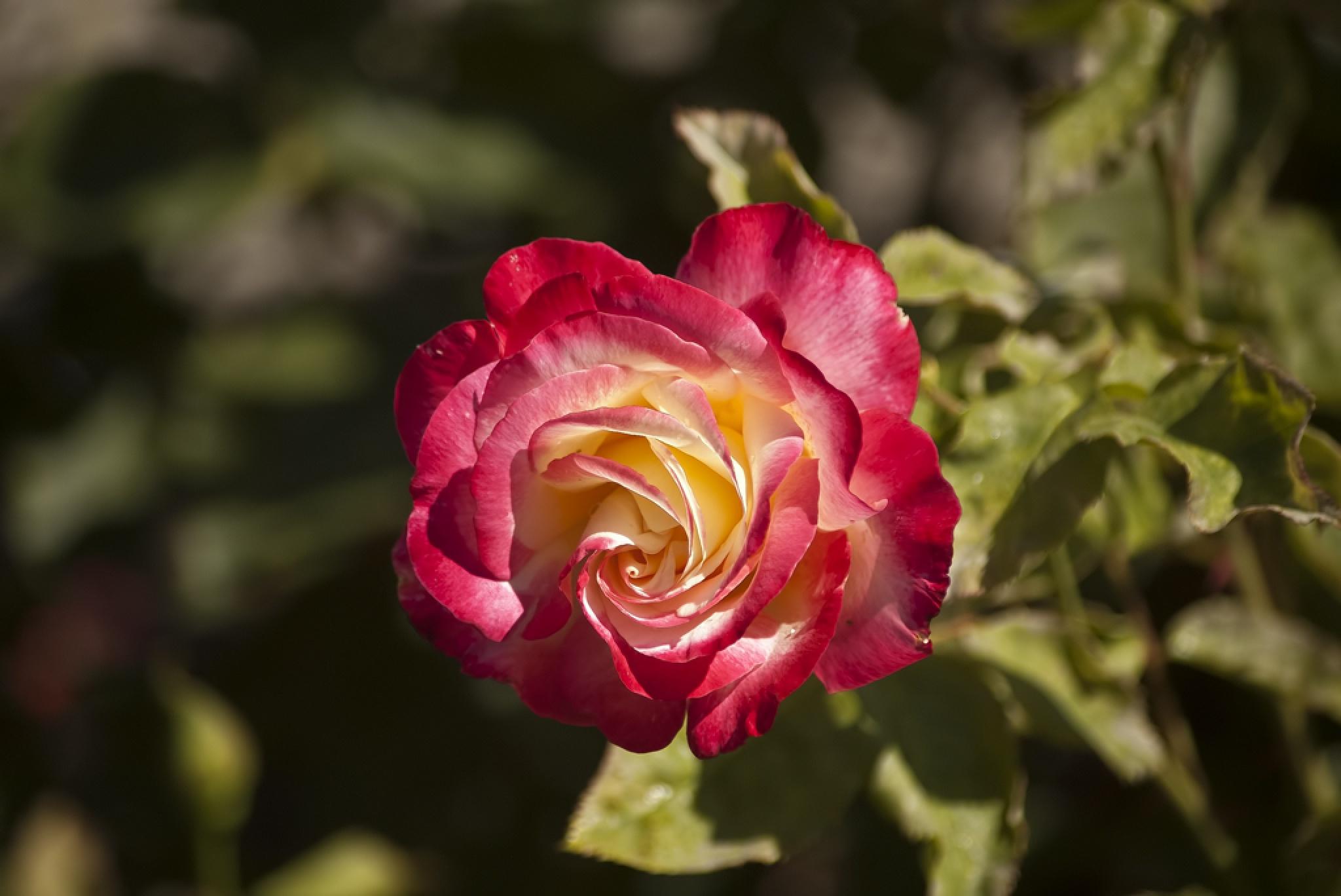 Rose by Selmik