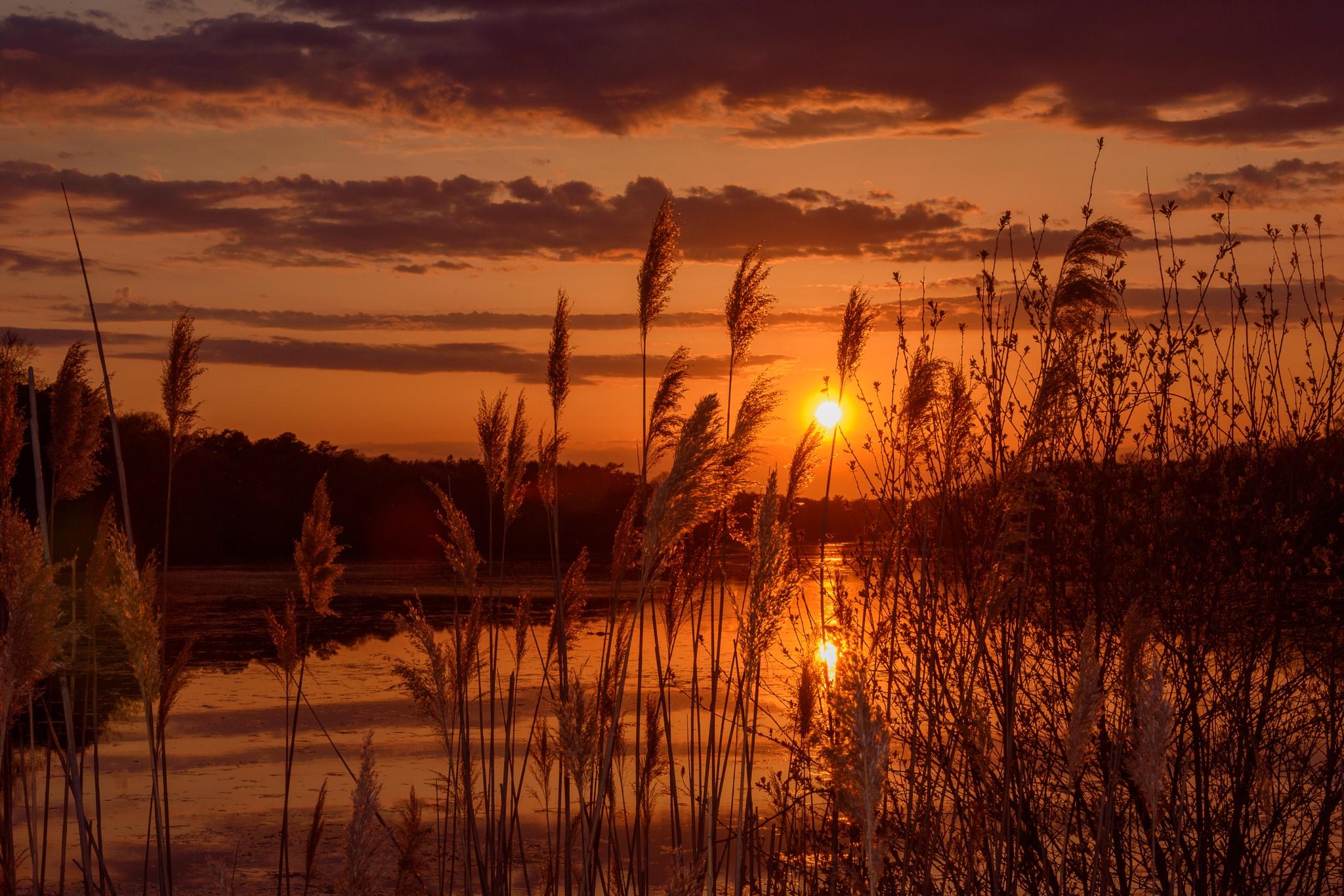 Golden Reeds by Tom Lambui