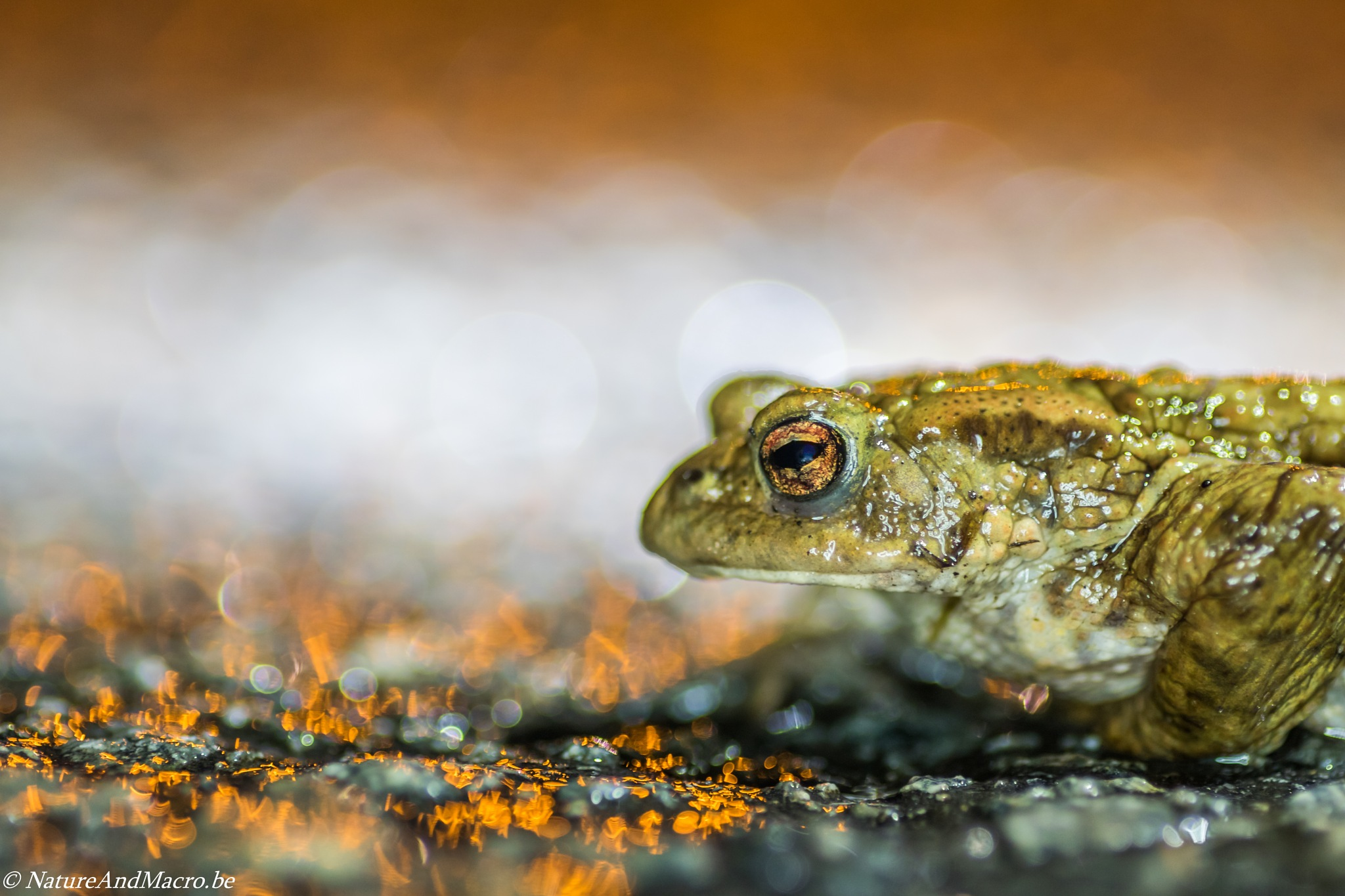 golden frog by annickdecaluwe