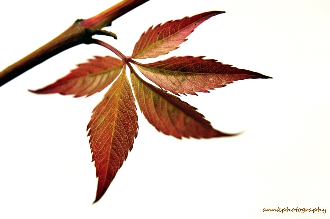 red leaf by AnnK