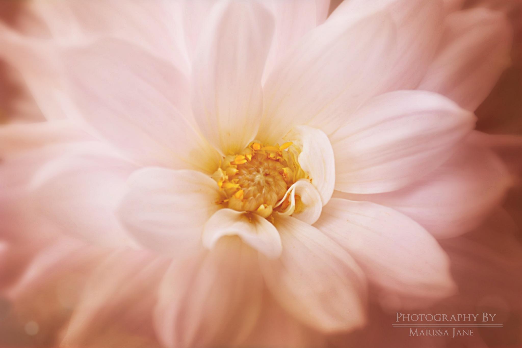 Soft Petals  by MarissaJane