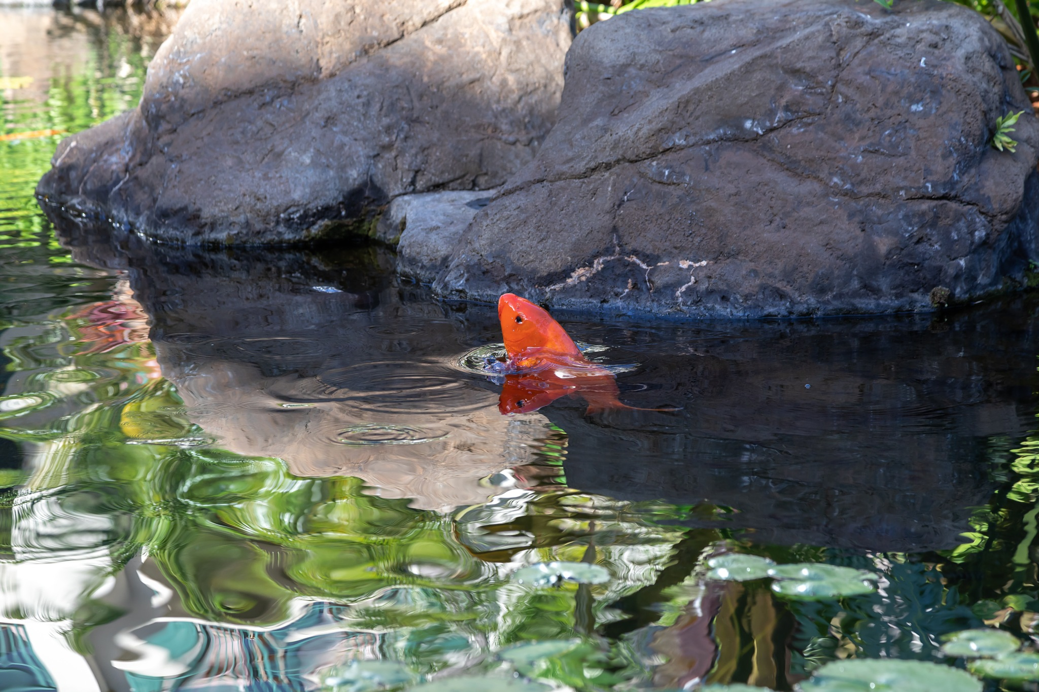 A different Koi  by Robert White