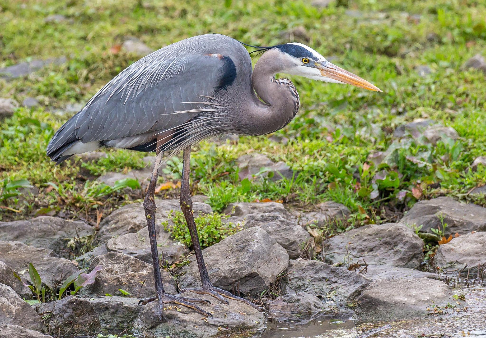 Blue Heron by Robert White