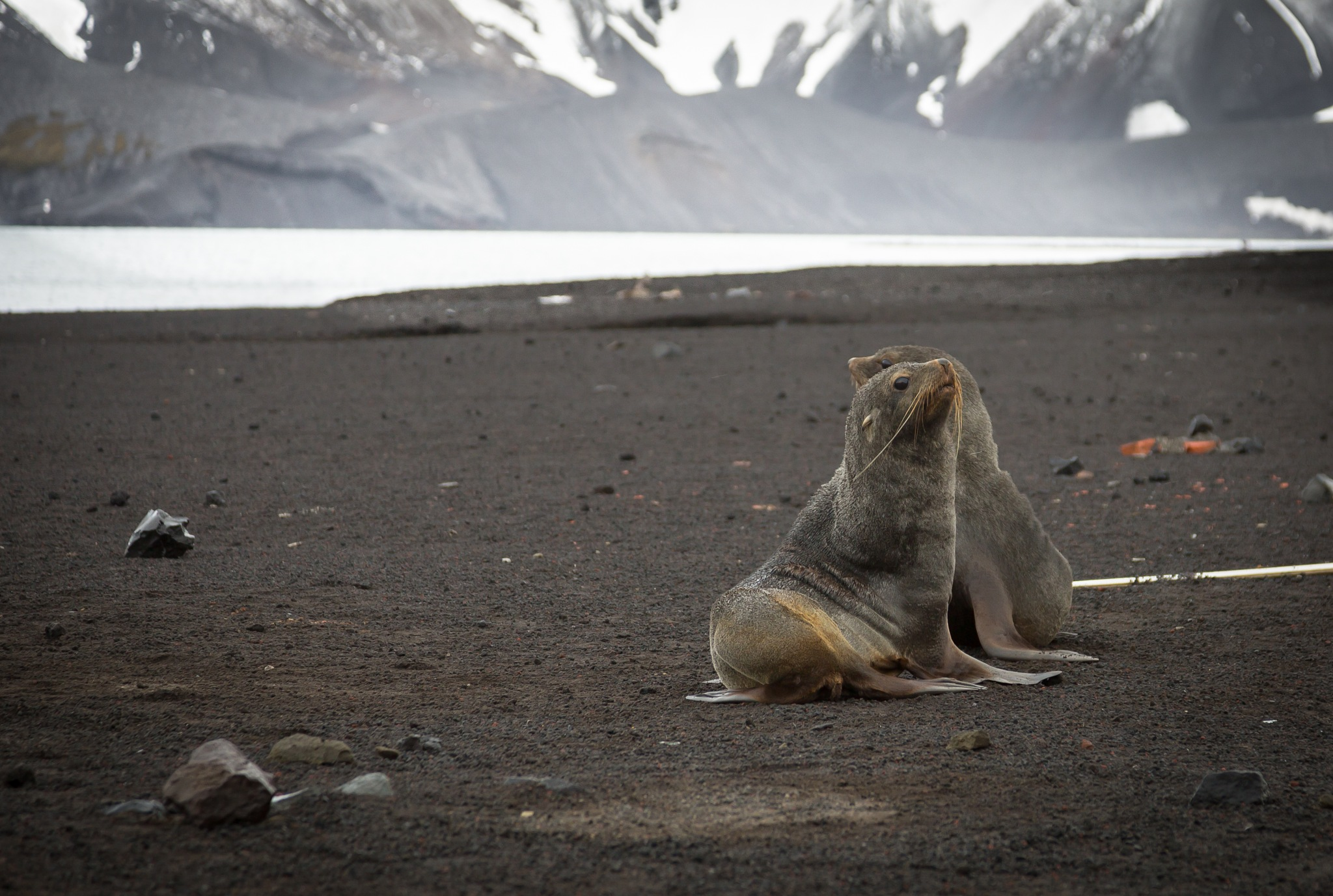 Fur Seals by Robert White