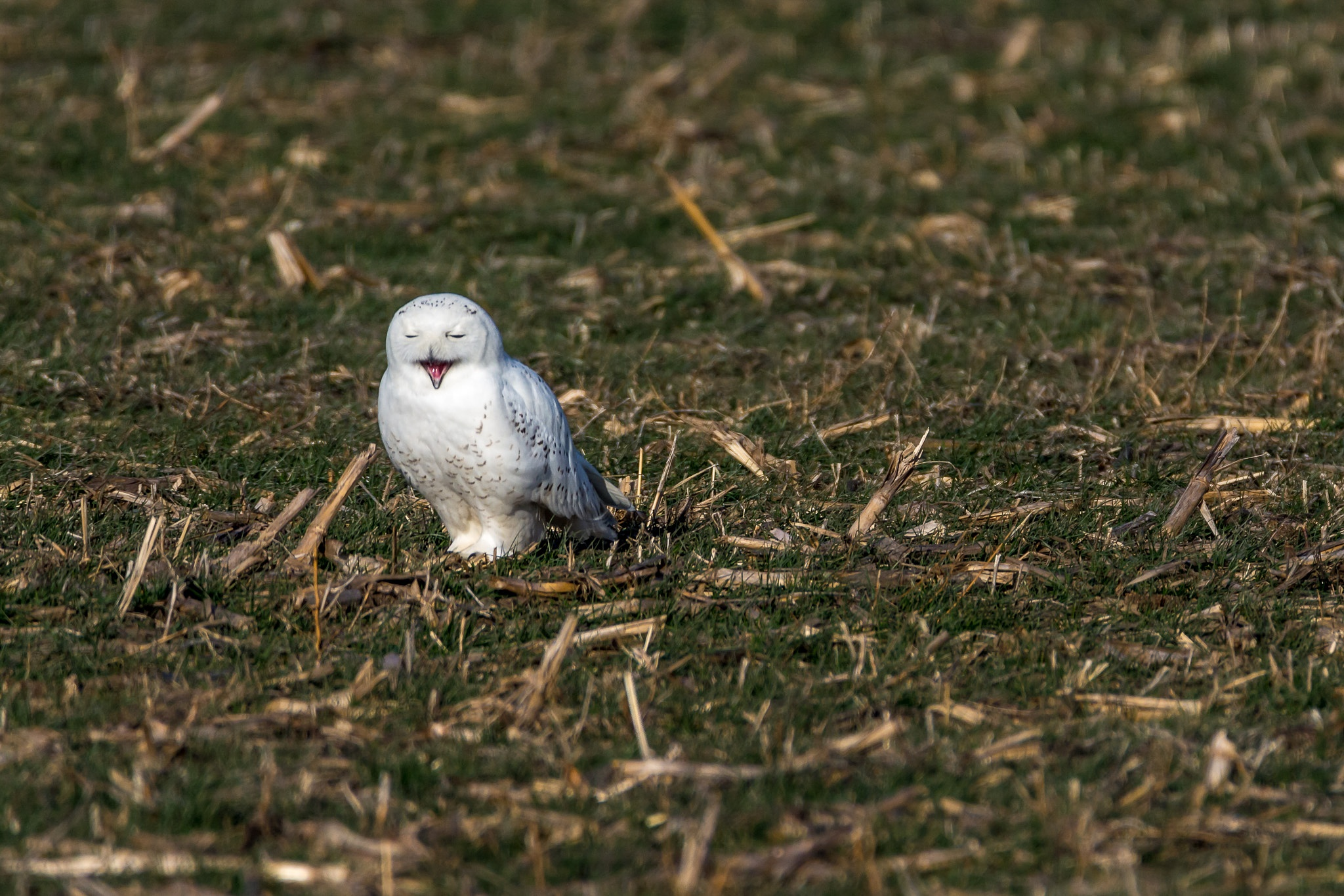 Laughing owl. by Marc Henry