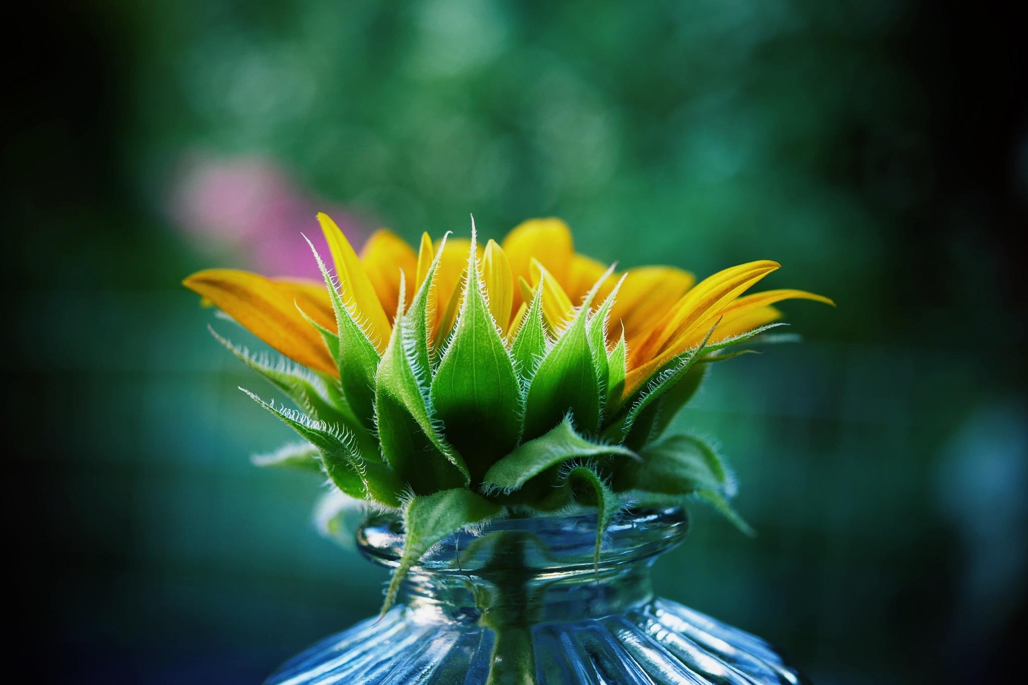 Sunflower in the garden! by Cicki Jarneberg