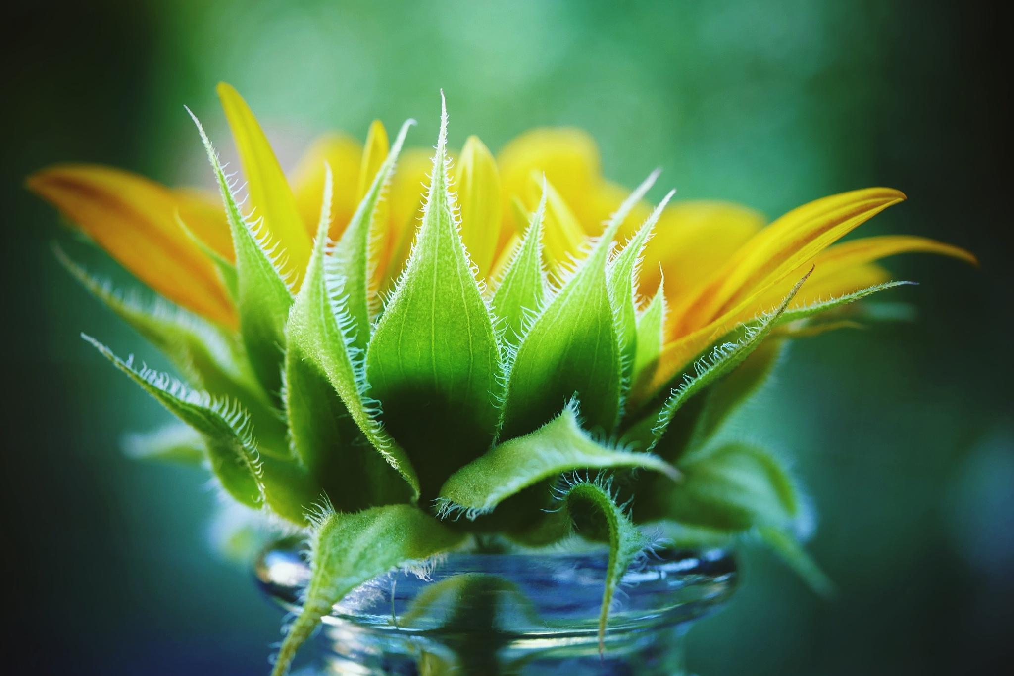 Sunflower! by Cicki Jarneberg
