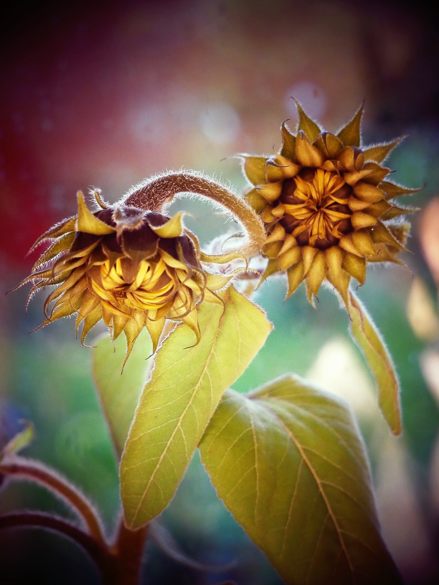 Small sunflowers in the garden today! by Cicki Jarneberg