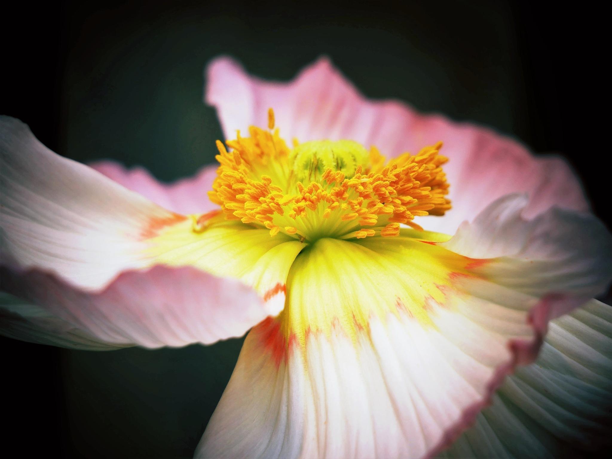 Poppy! by Cicki Jarneberg