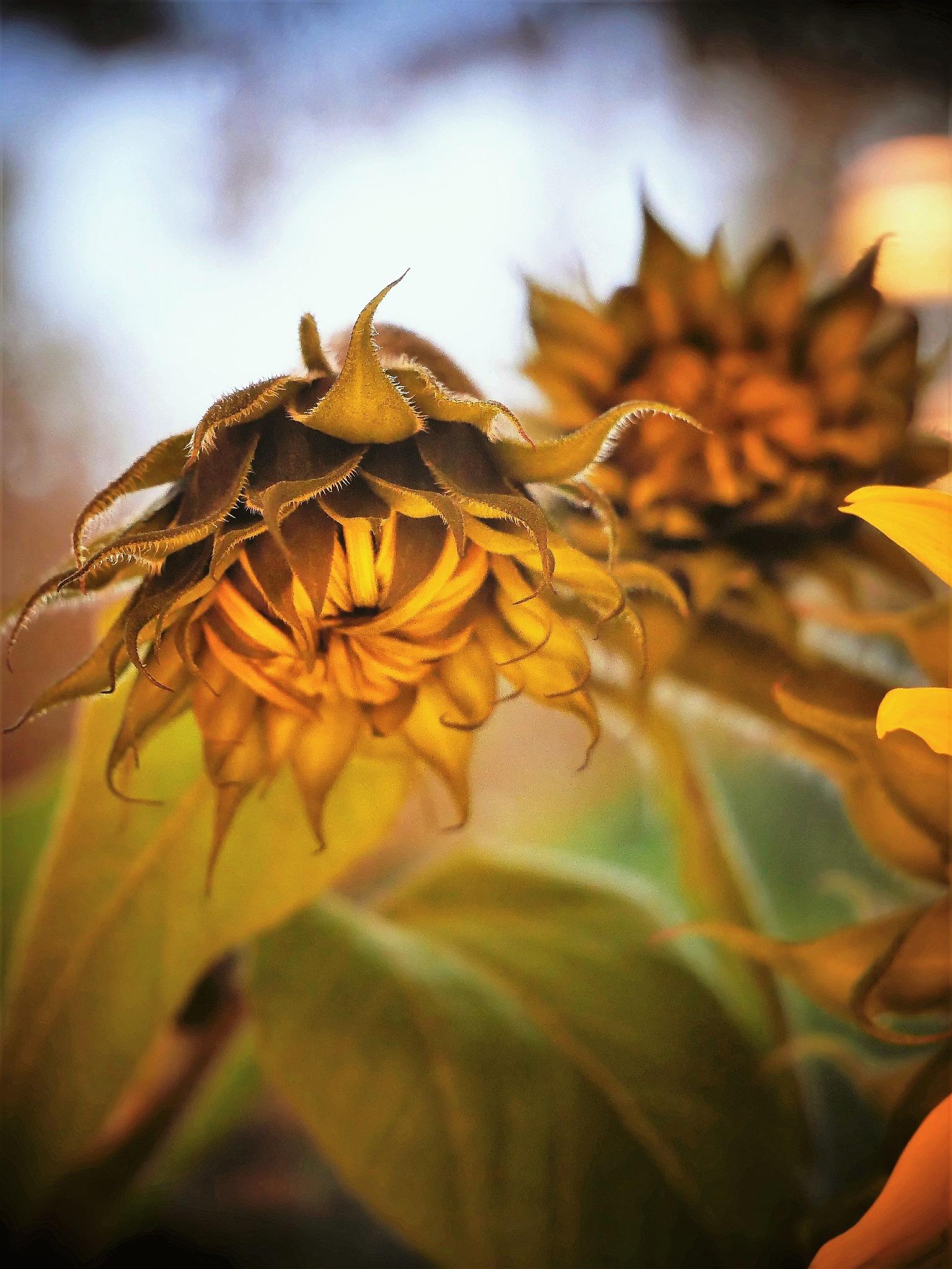 Late sunflower in the garden! by Cicki Jarneberg