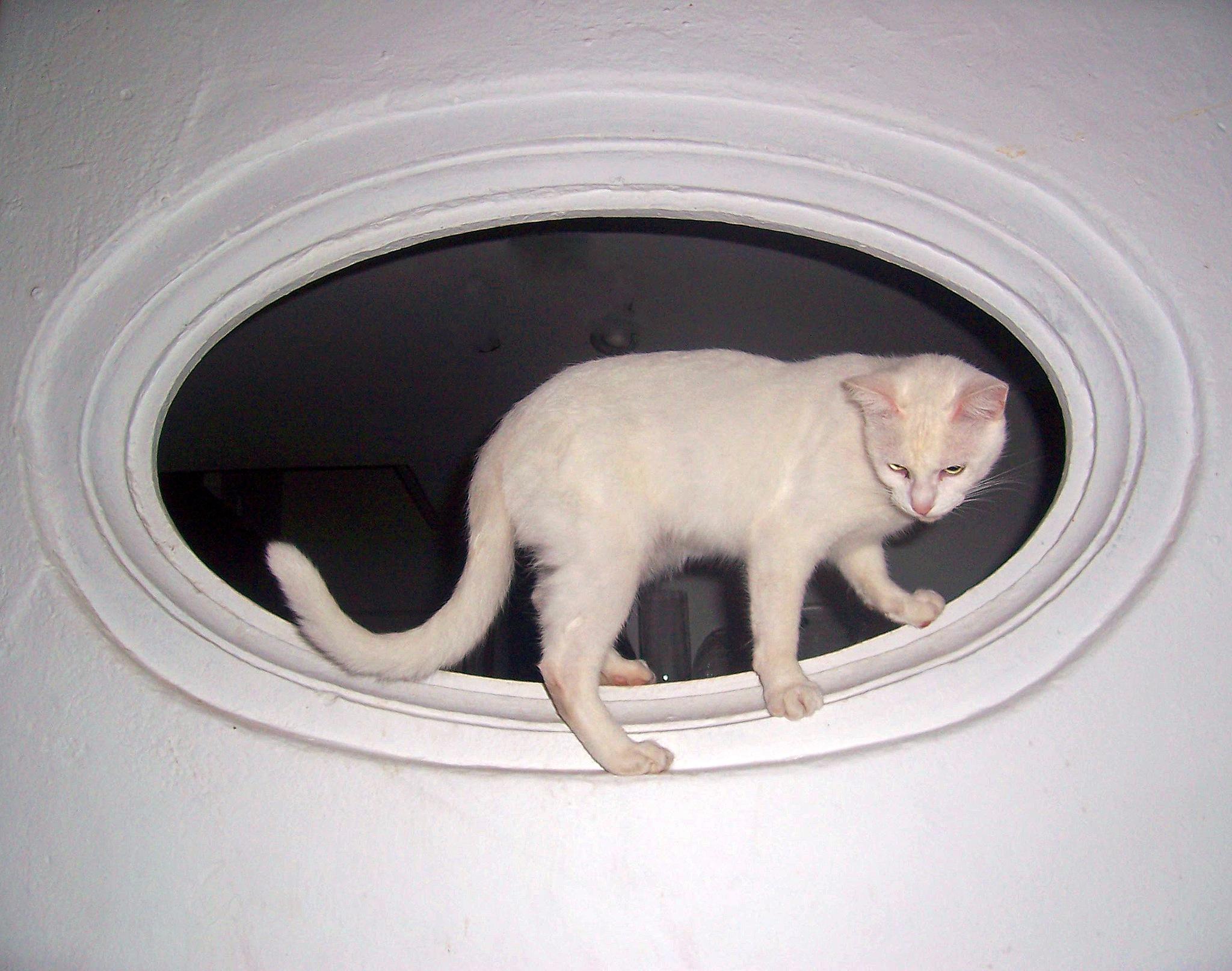 Portrait of white kitten by Nauta Piscatorque