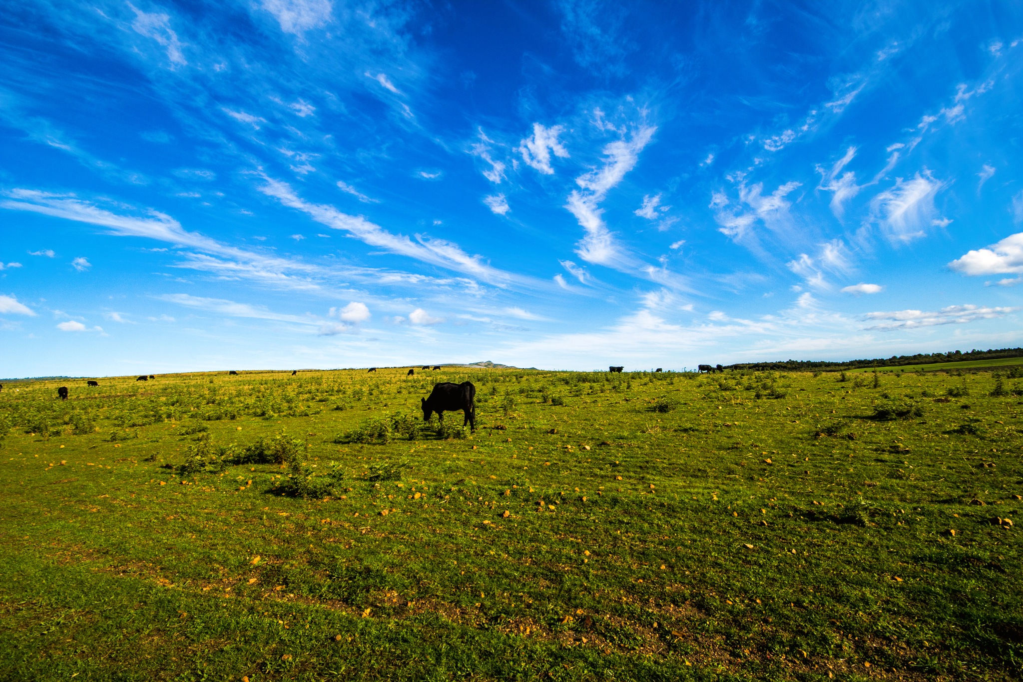 Scattered cattle by Nauta Piscatorque