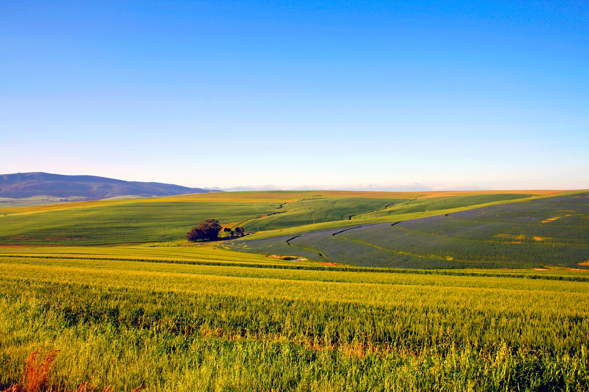Young wheat and lucern fields by Nauta Piscatorque