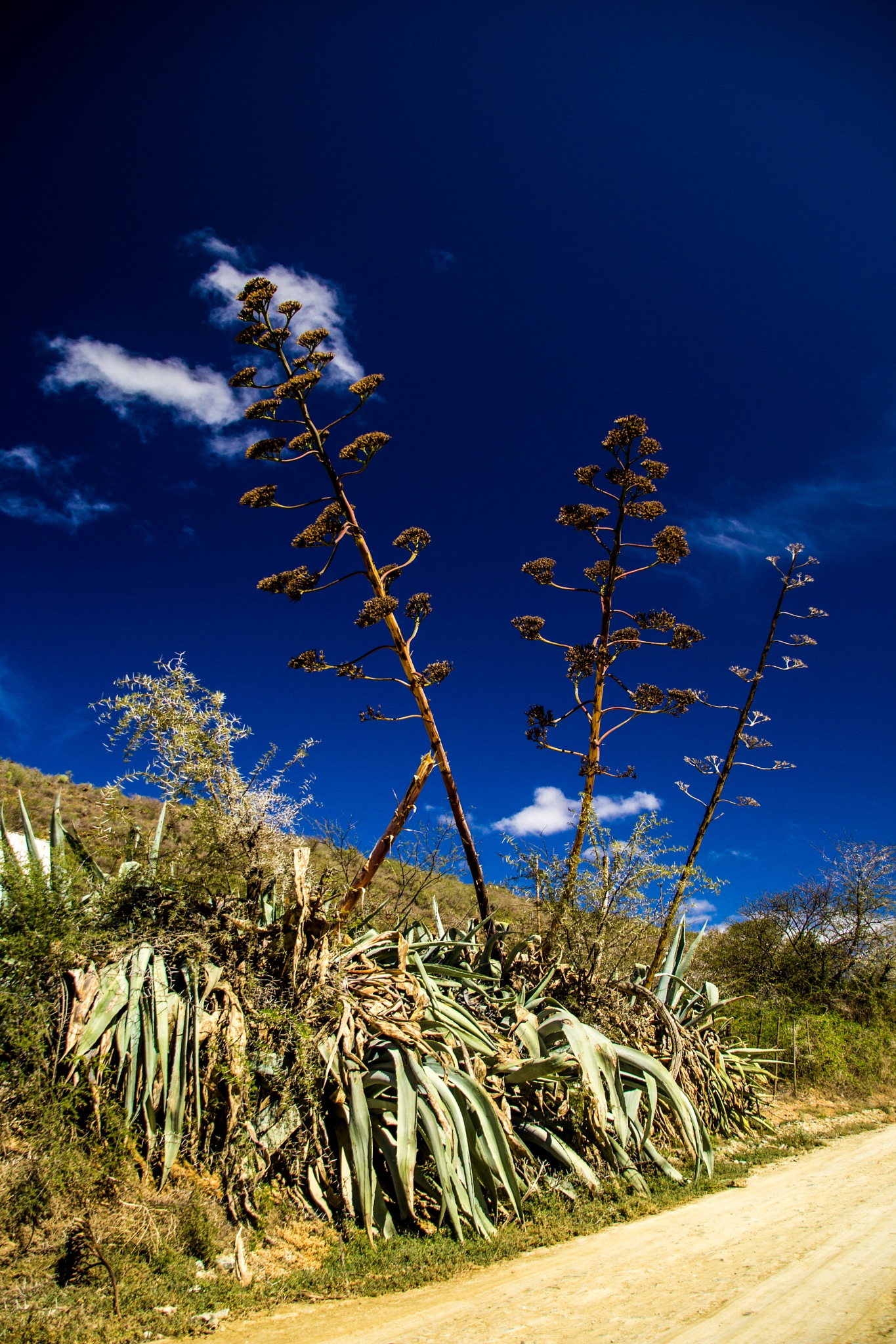 Agave sisalana - the sisal plant by Nauta Piscatorque
