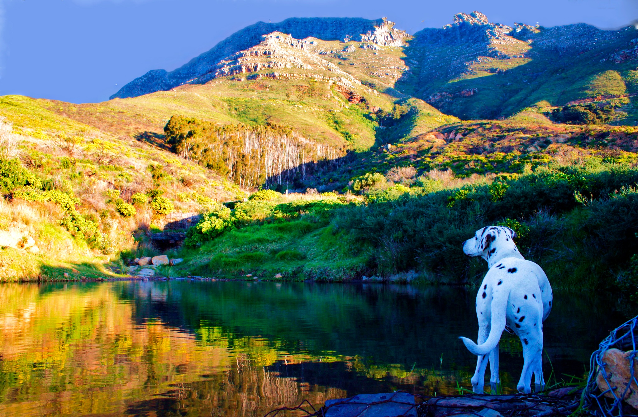 Dalmation at mountain pool by Nauta Piscatorque