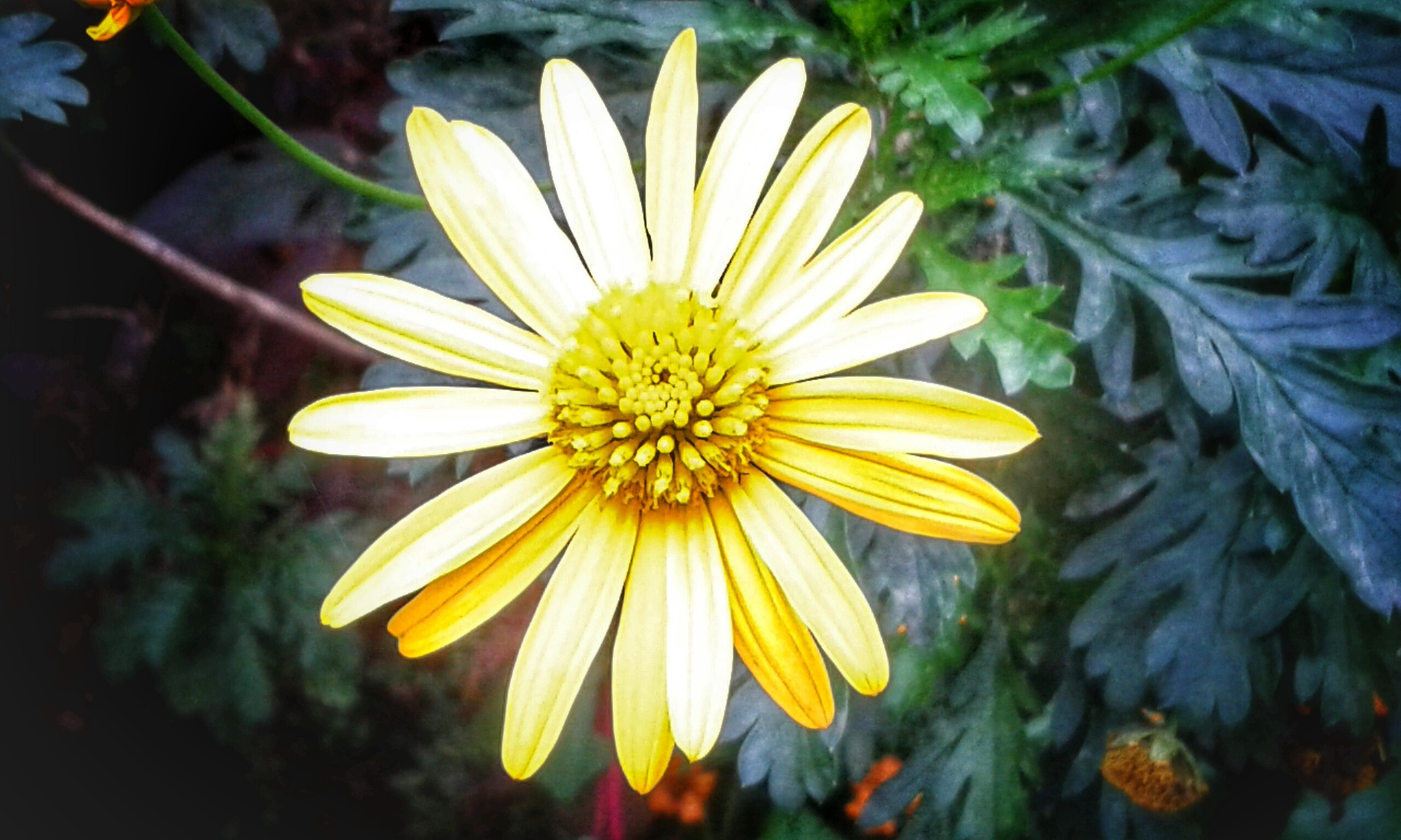 Yellow Daisy - Monserrate Park, Sintra by Jose Coelho