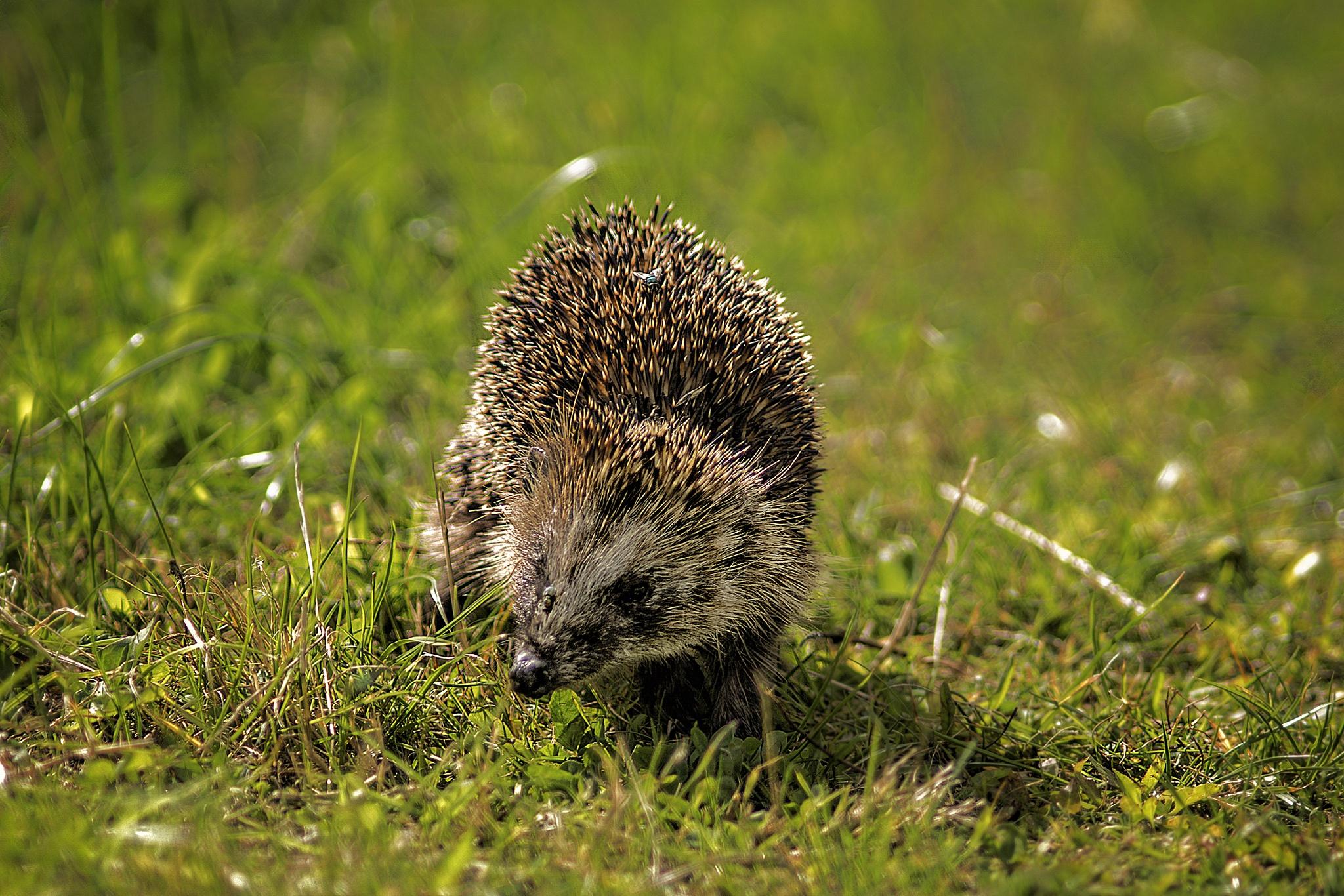 Hedgehog by Wim Van De Meerendonk