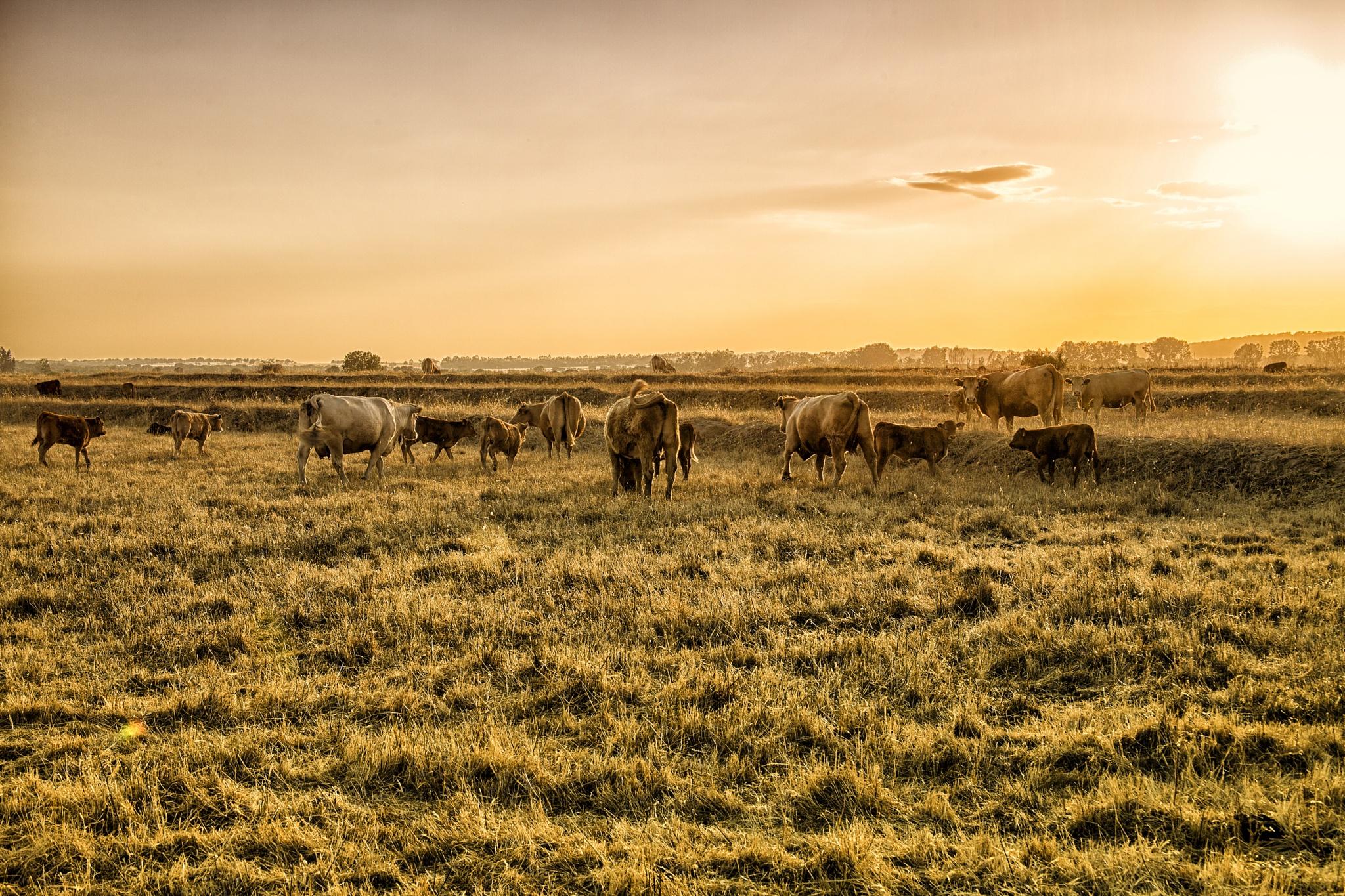 cattle at dusk by melanie bund martins