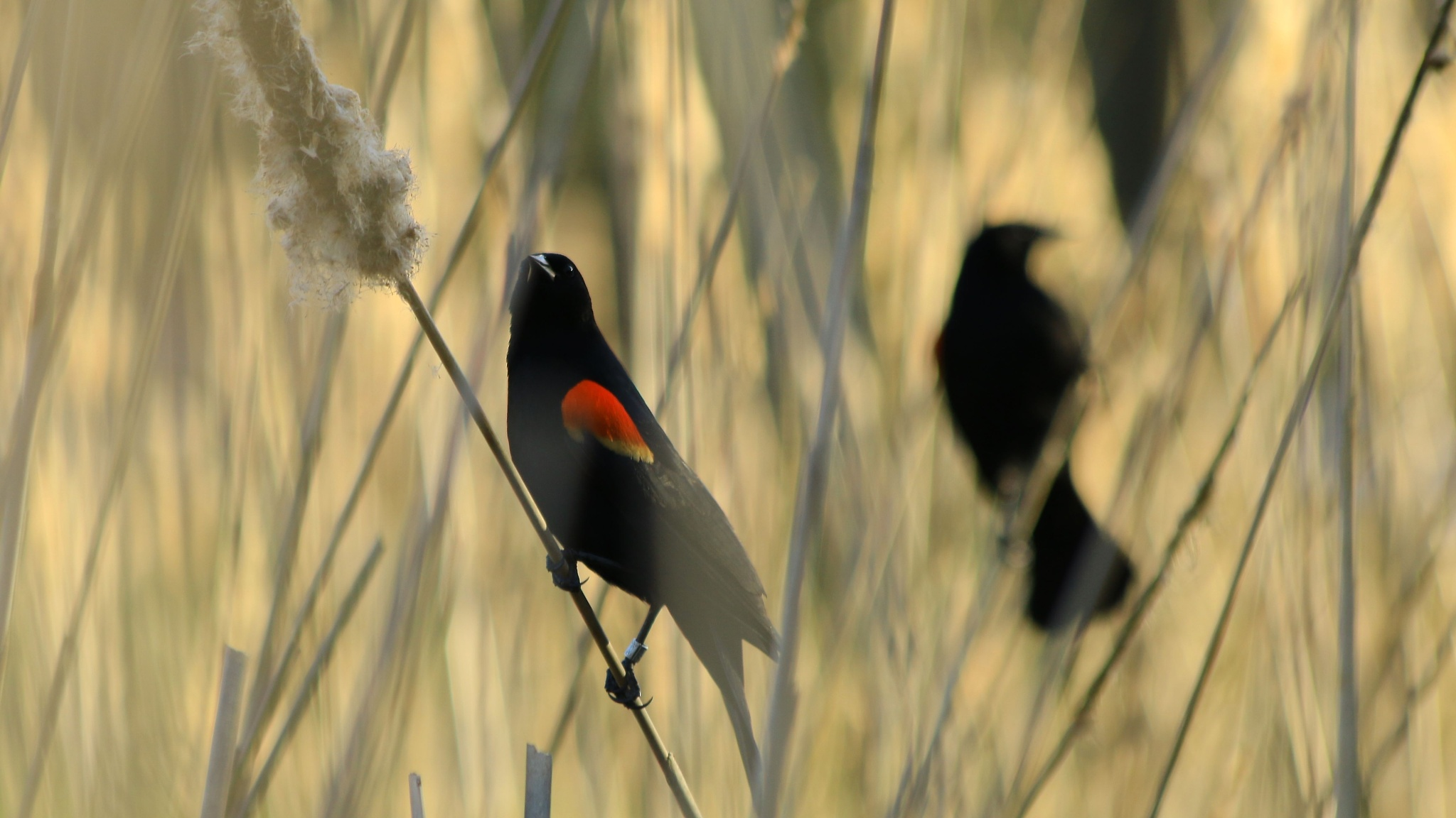 Red-winged Blackbirds by thurd