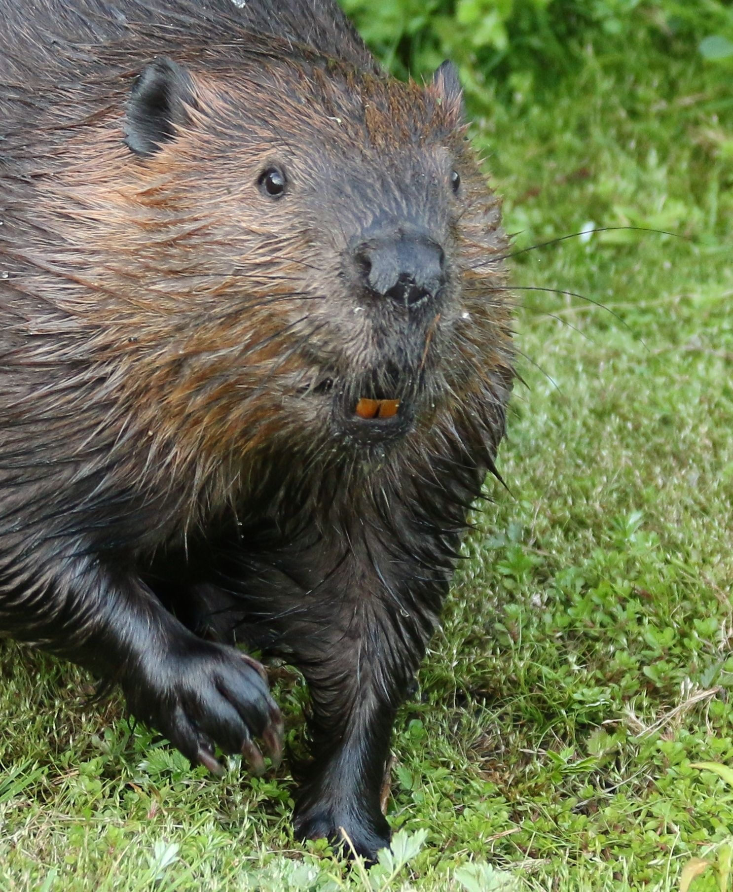 Adult Beaver  by thurd