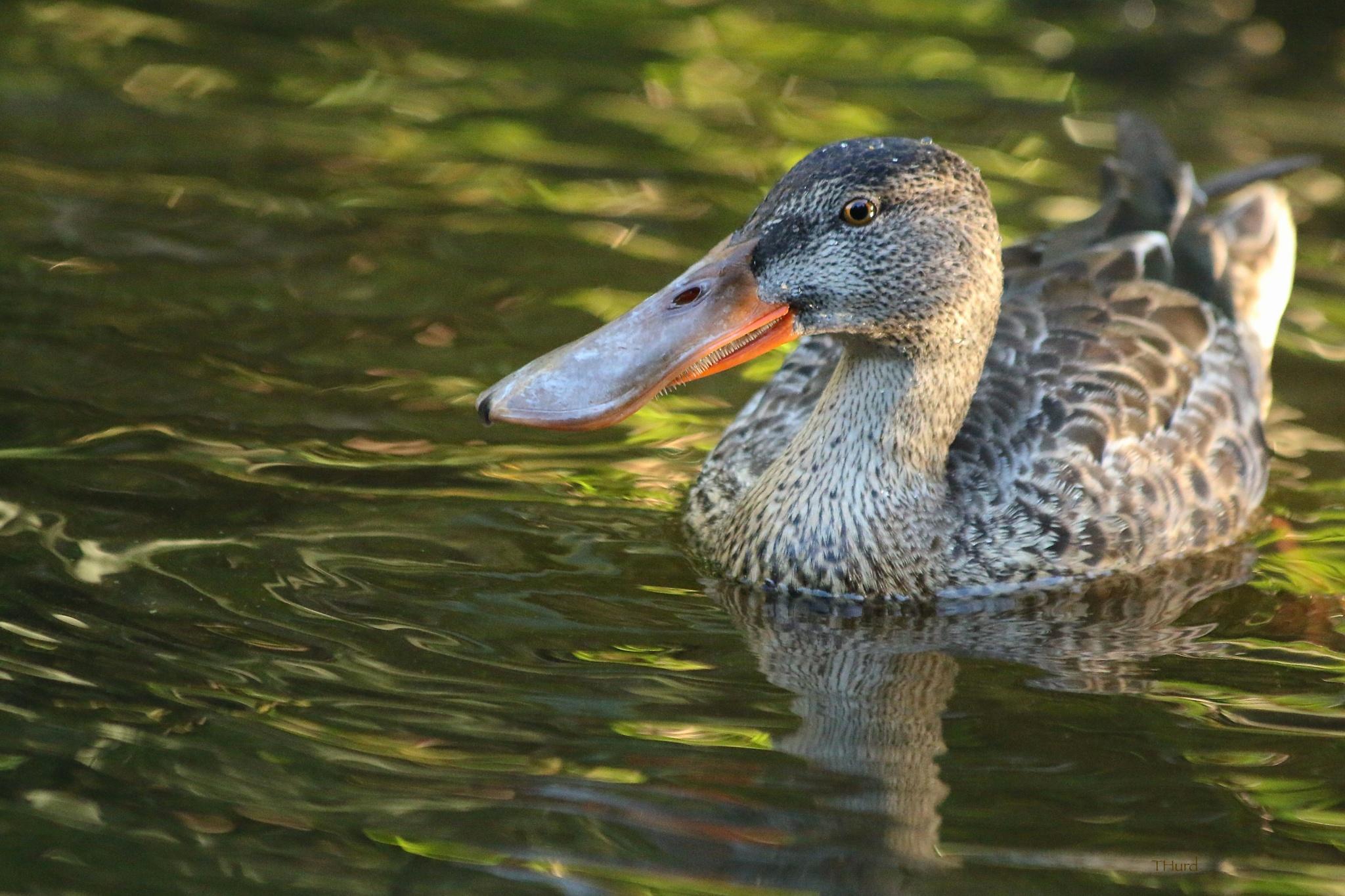 Northern Shoveler Duck by thurd