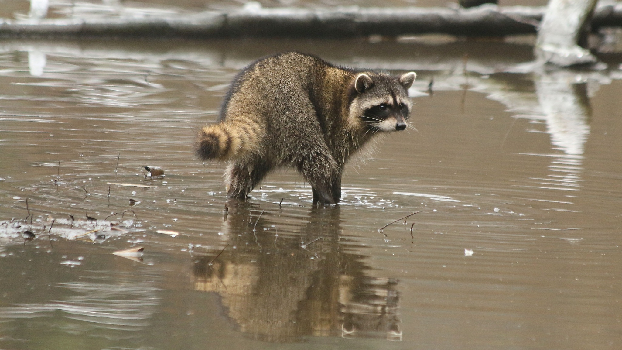 Raccoon in Icy Cold Water by thurd