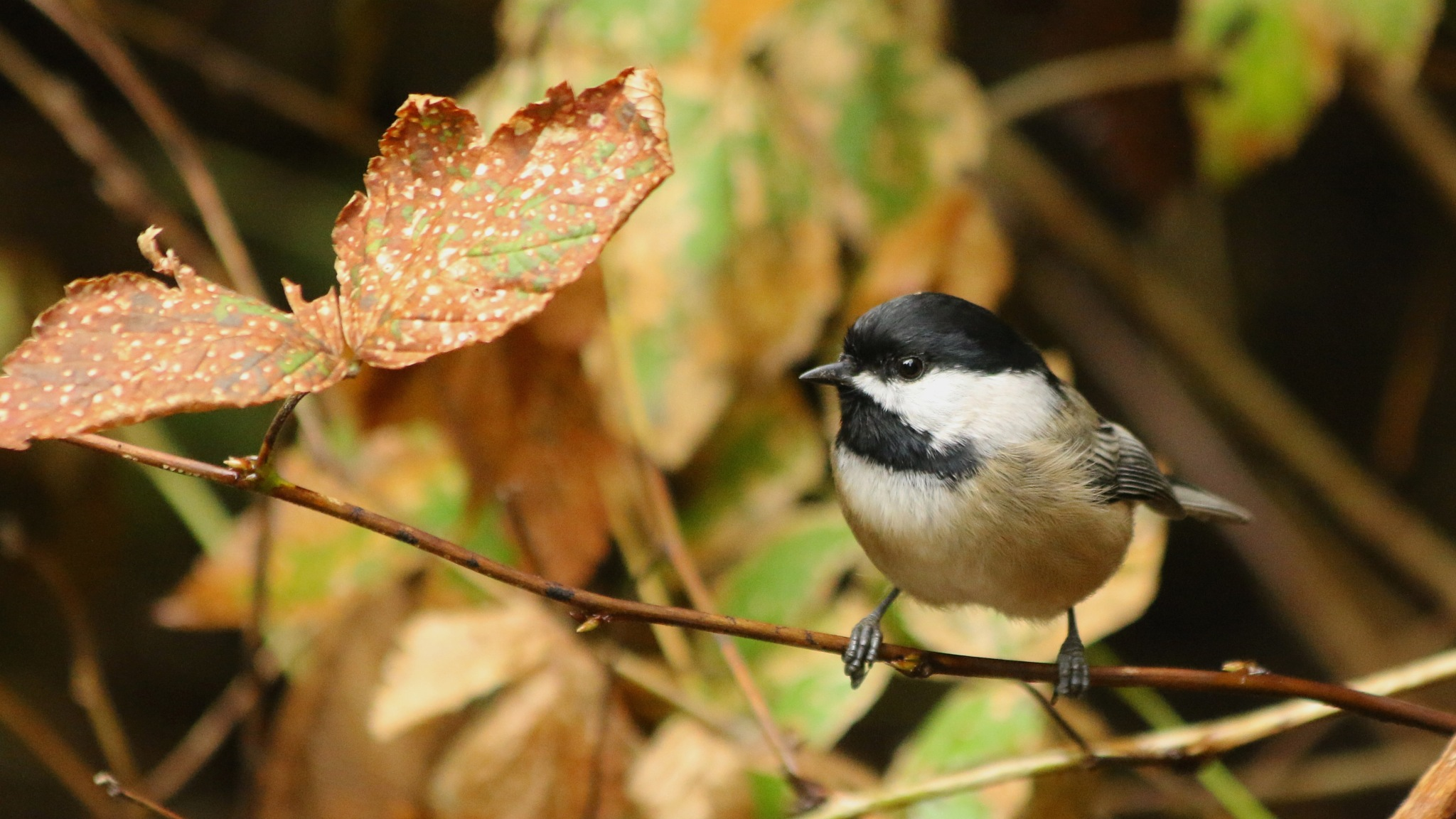 Black-capped Chickadee by thurd