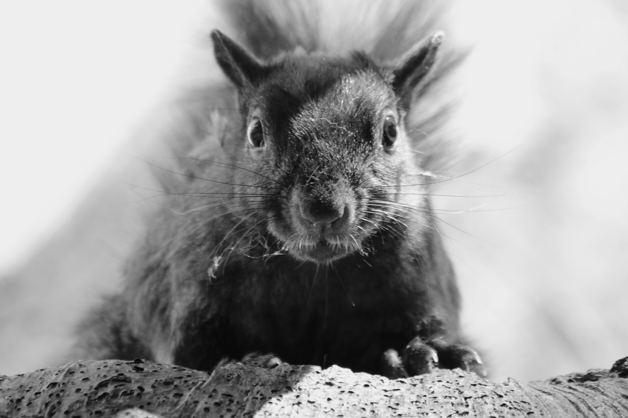 Squirrel by thurd