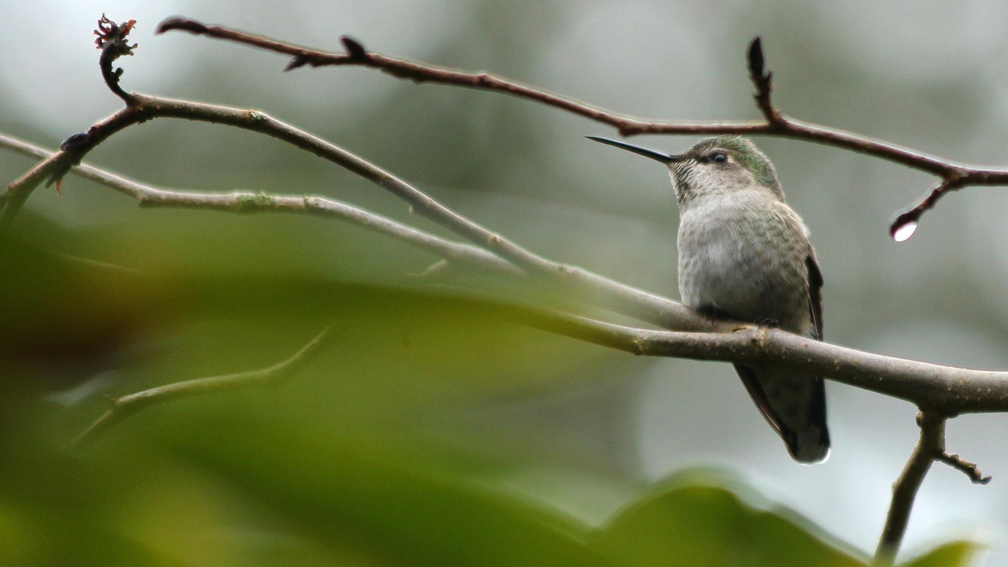 Anna's Hummingbird by thurd