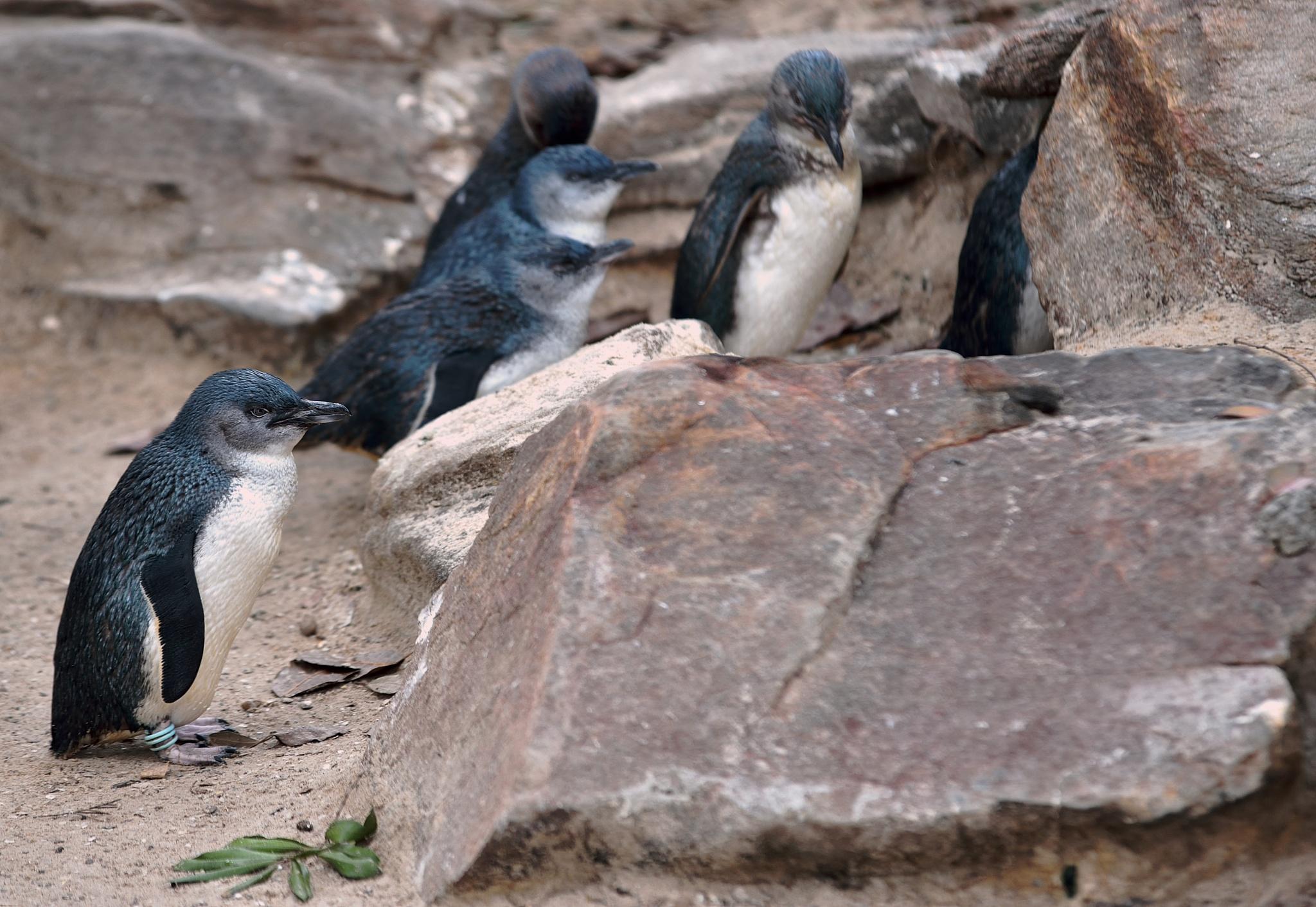 Penguins by Devis Alberti