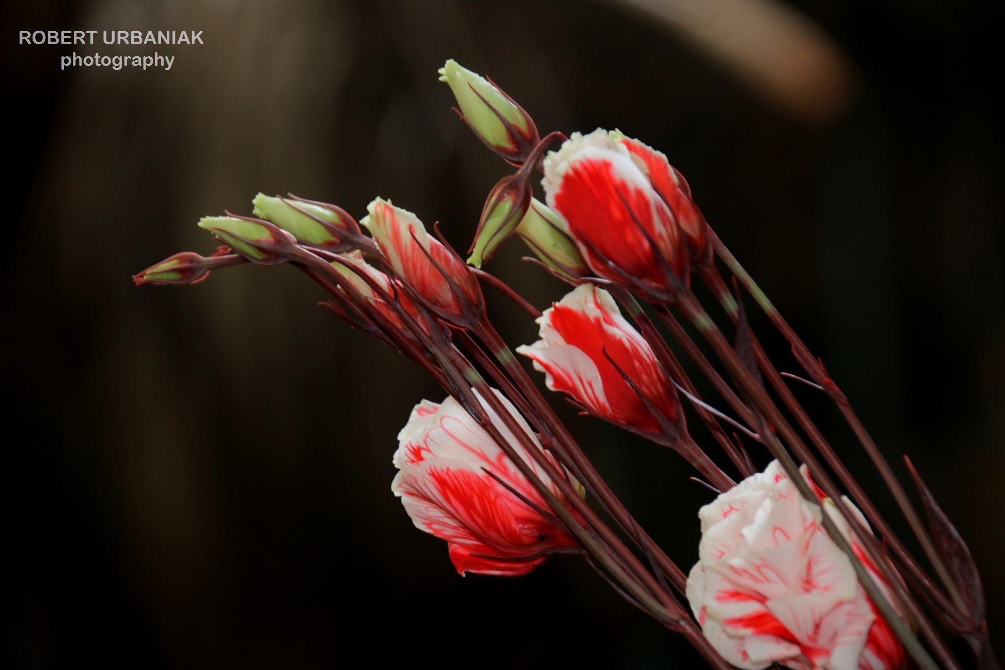 white&red by Robert Urbaniak