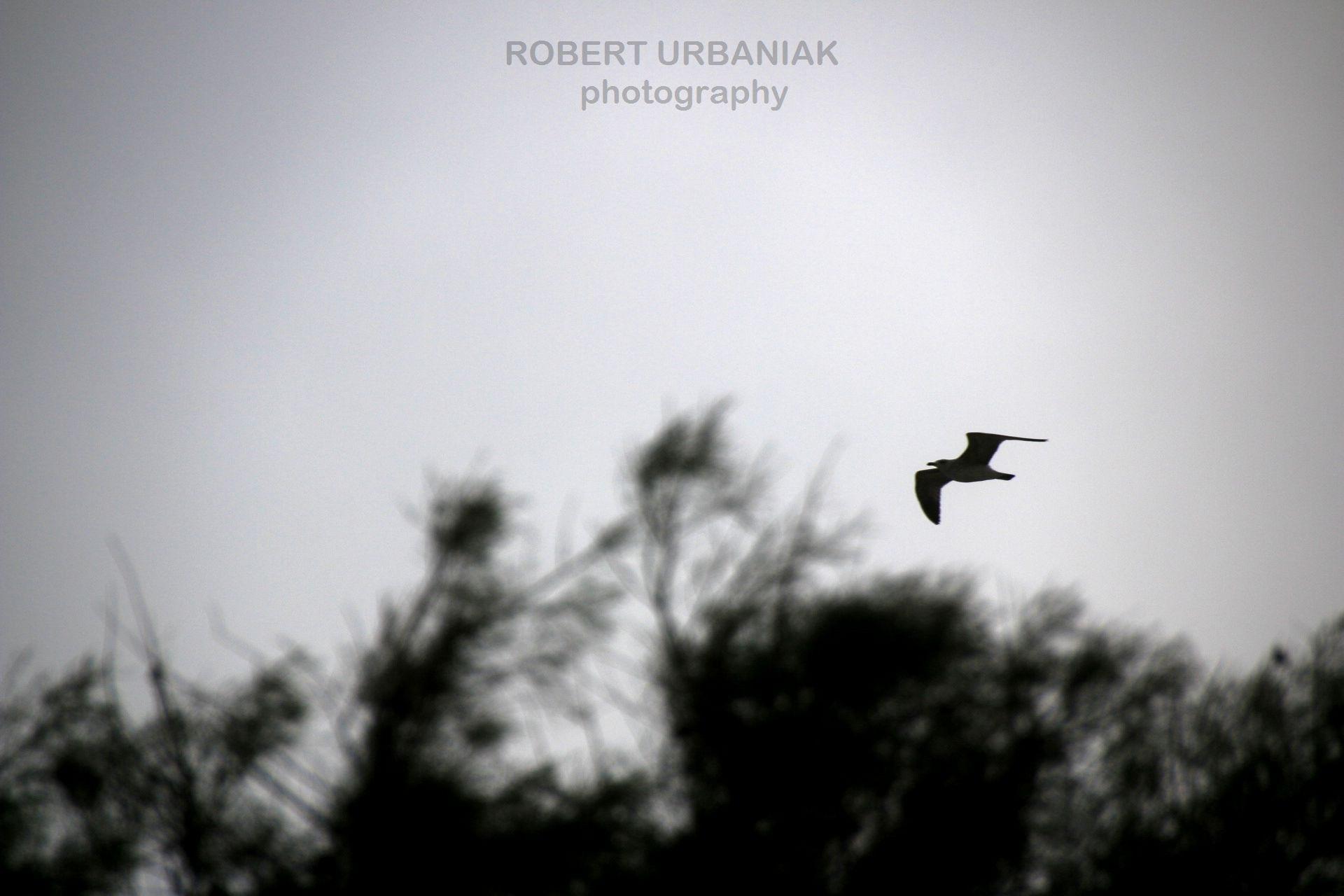 black wings by Robert Urbaniak