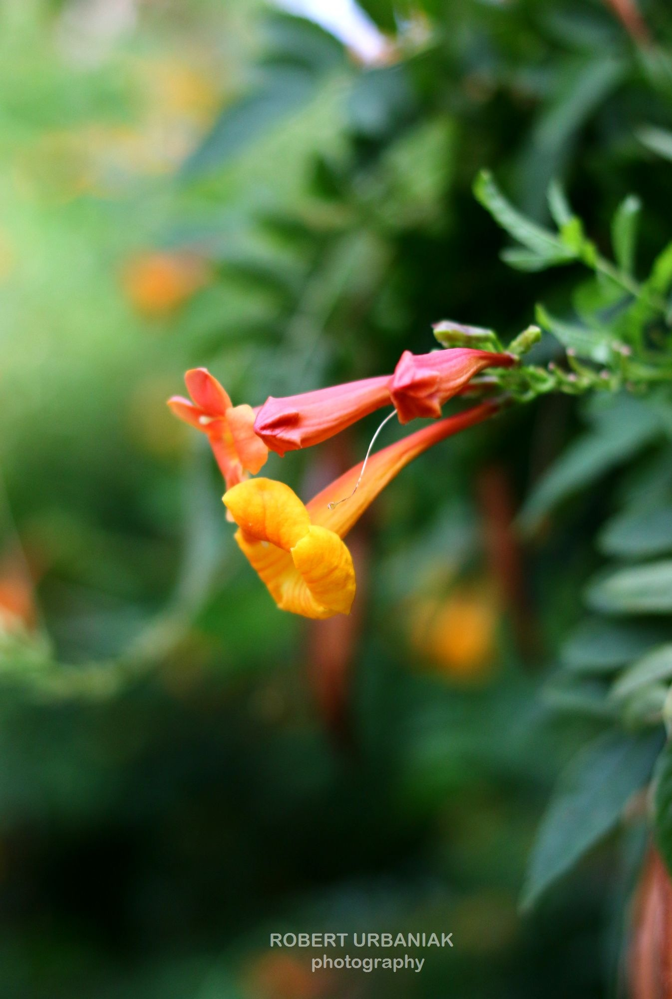 double flowers by Robert Urbaniak
