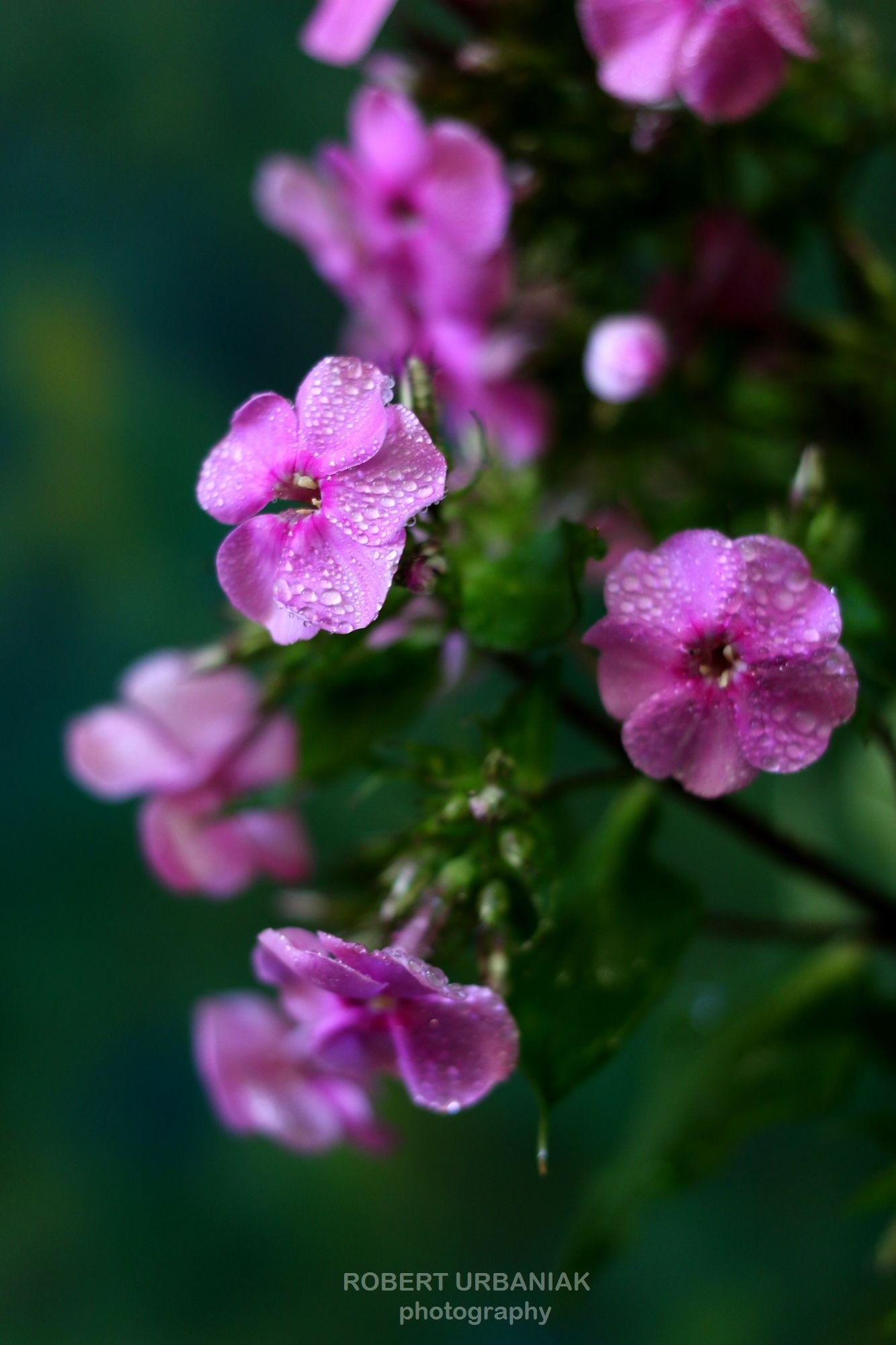 purple with drops3 by Robert Urbaniak
