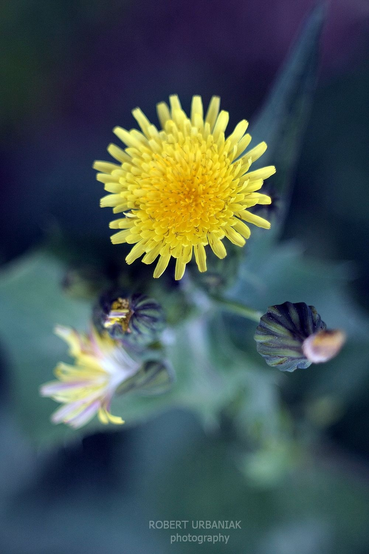 Yellow flower by Robert Urbaniak