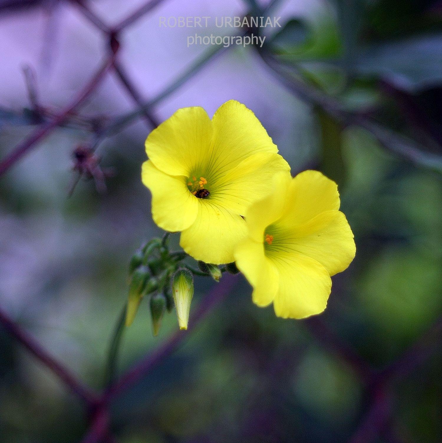 yellow flowers by Robert Urbaniak