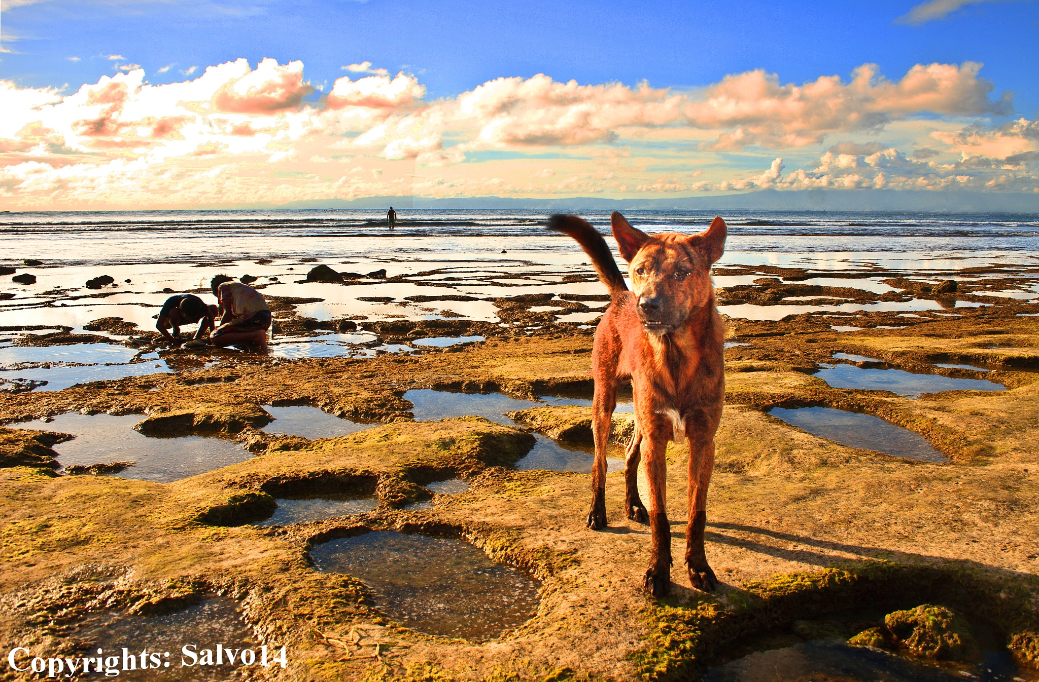 The Typical Balinese Dog by Salvo Salvadido