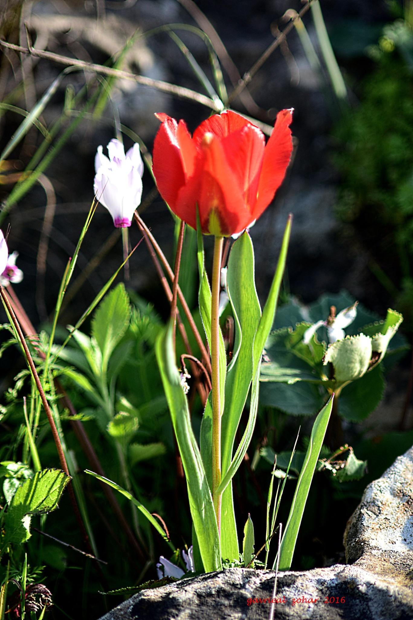 mountains tulip by gavriealzohar