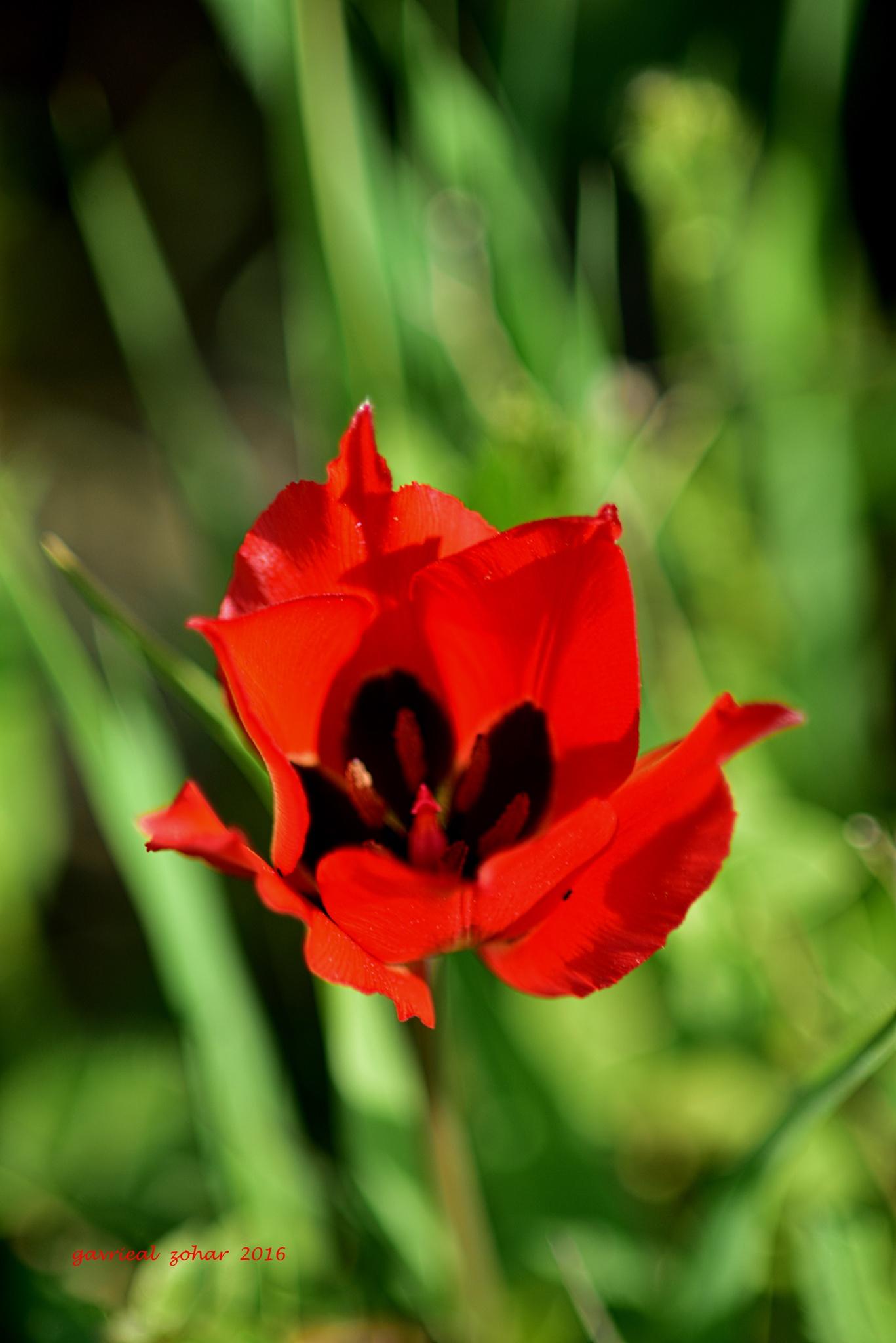 tulip flower by gavriealzohar