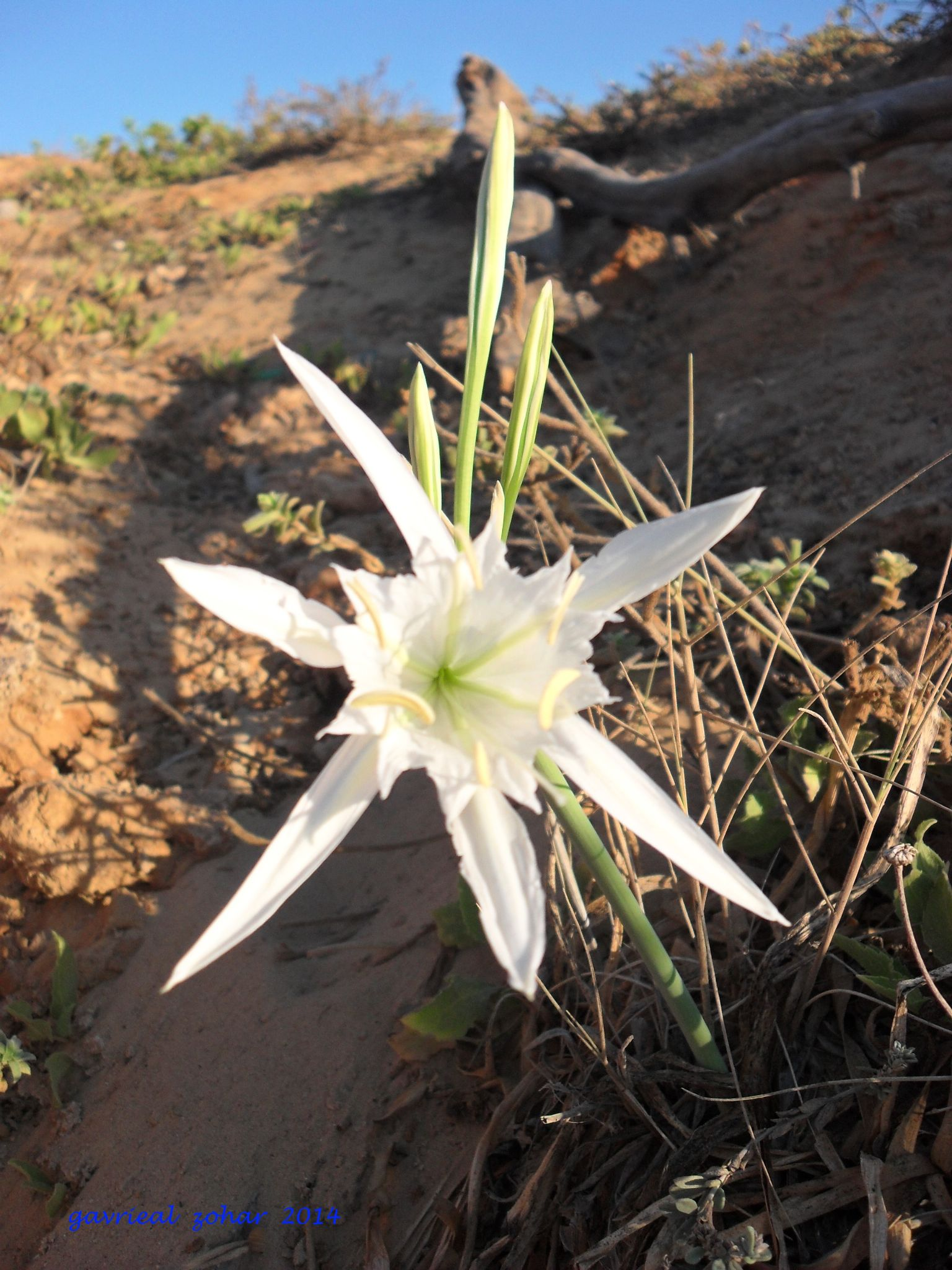coast lily by gavriealzohar