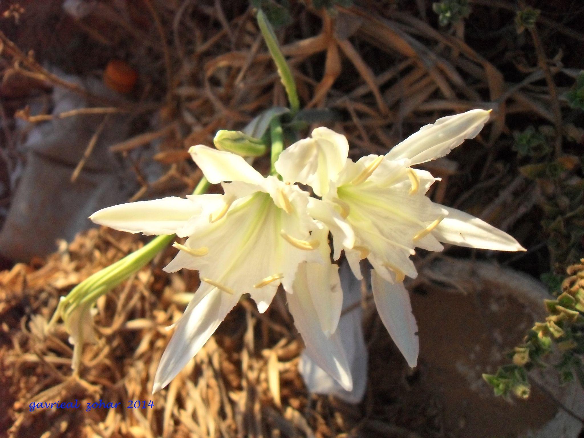 twins coast lily by gavriealzohar