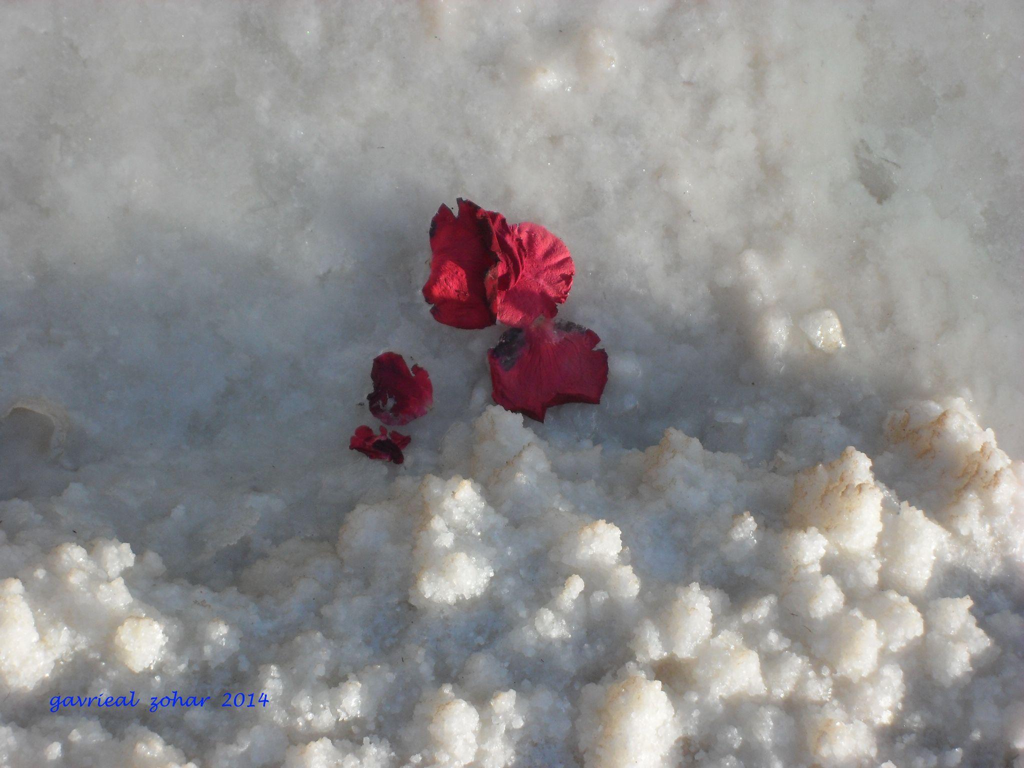 rose flower leafs on the salt by gavriealzohar