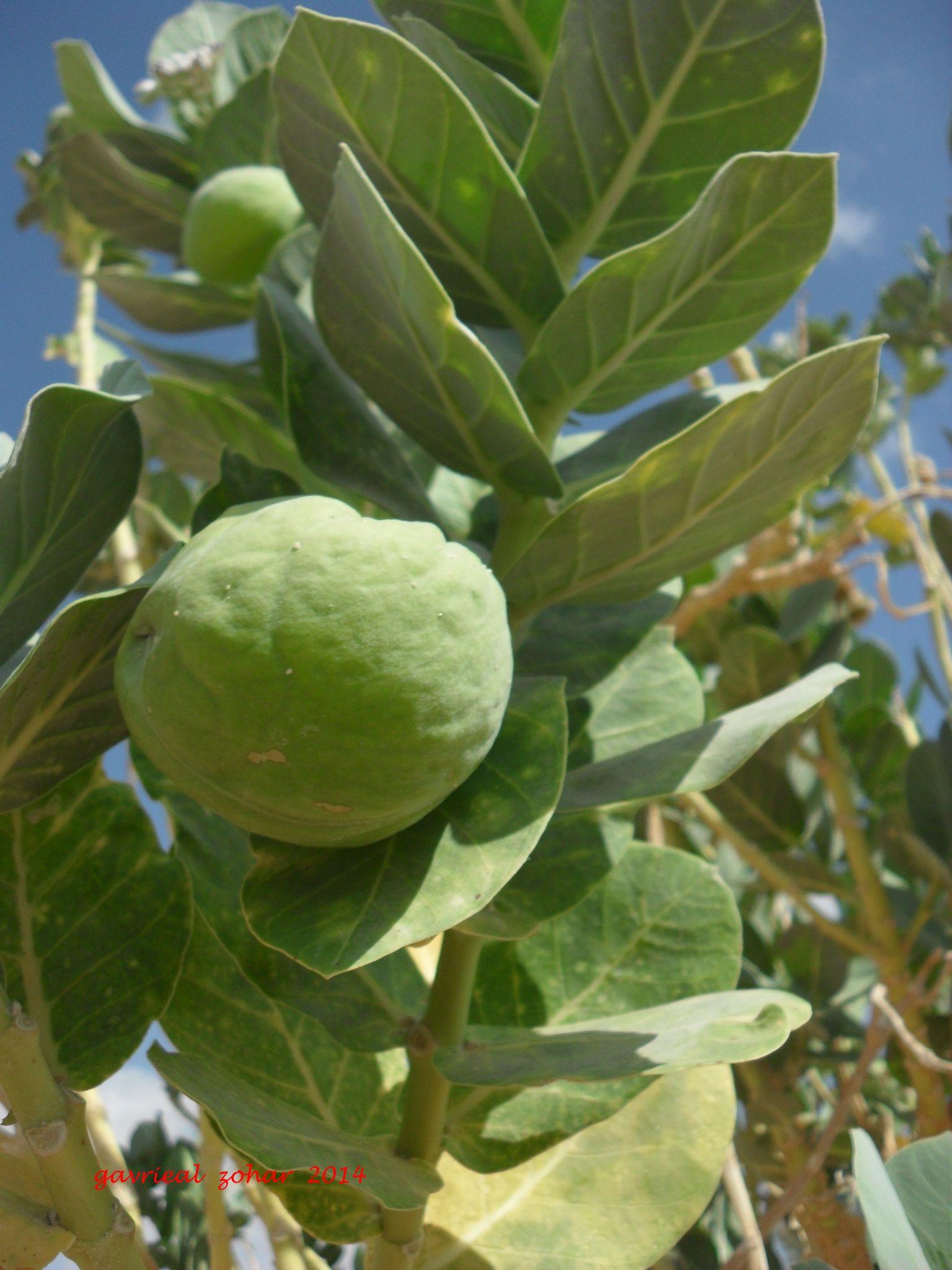 sodom apple ( Calotropis ) by gavriealzohar