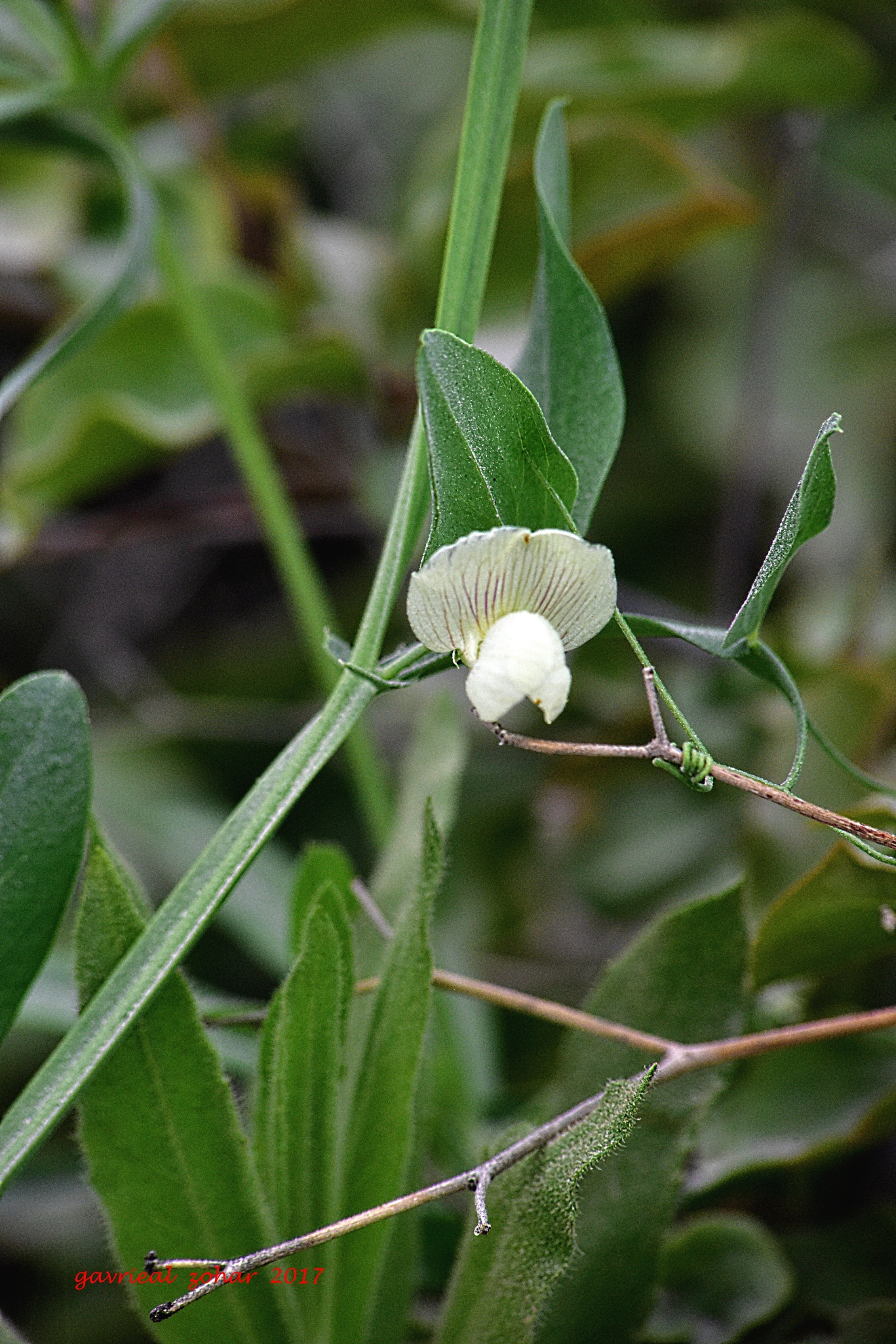 wild pea white flower by gavriealzohar