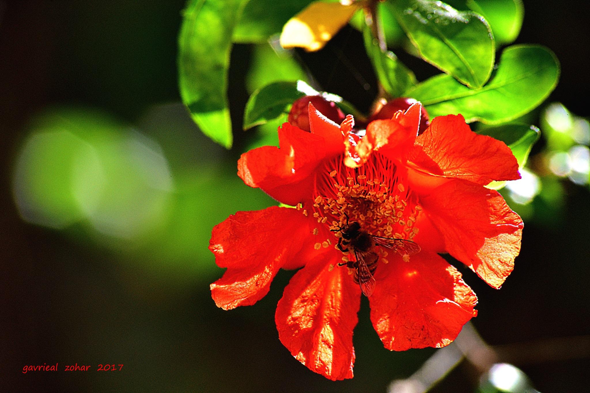pomegranate flower by gavriealzohar