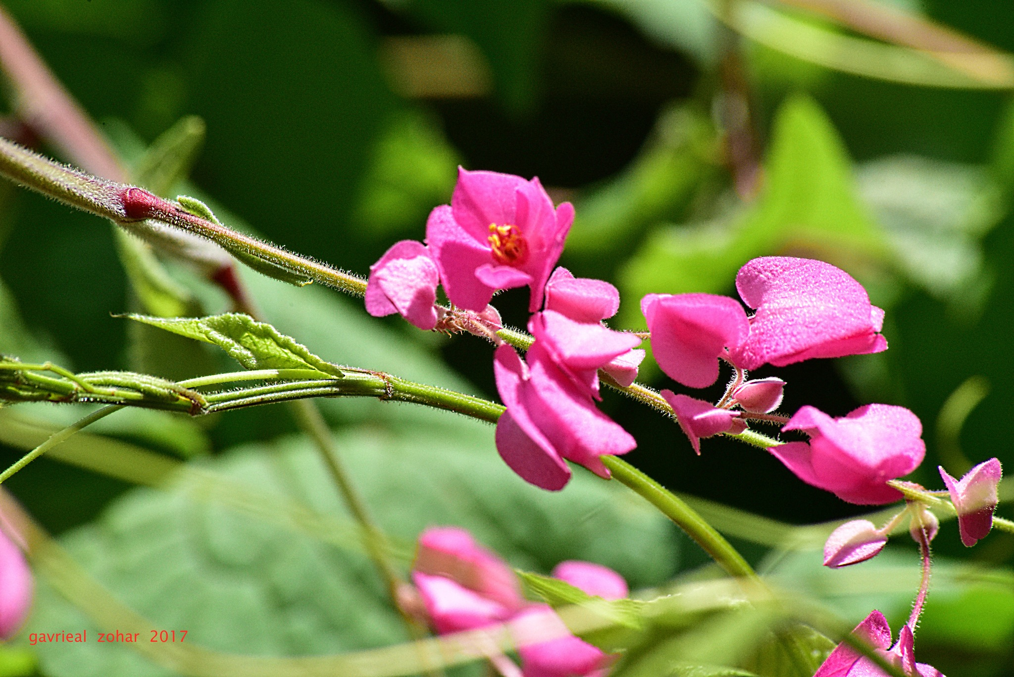 pink creeper flowers by gavriealzohar