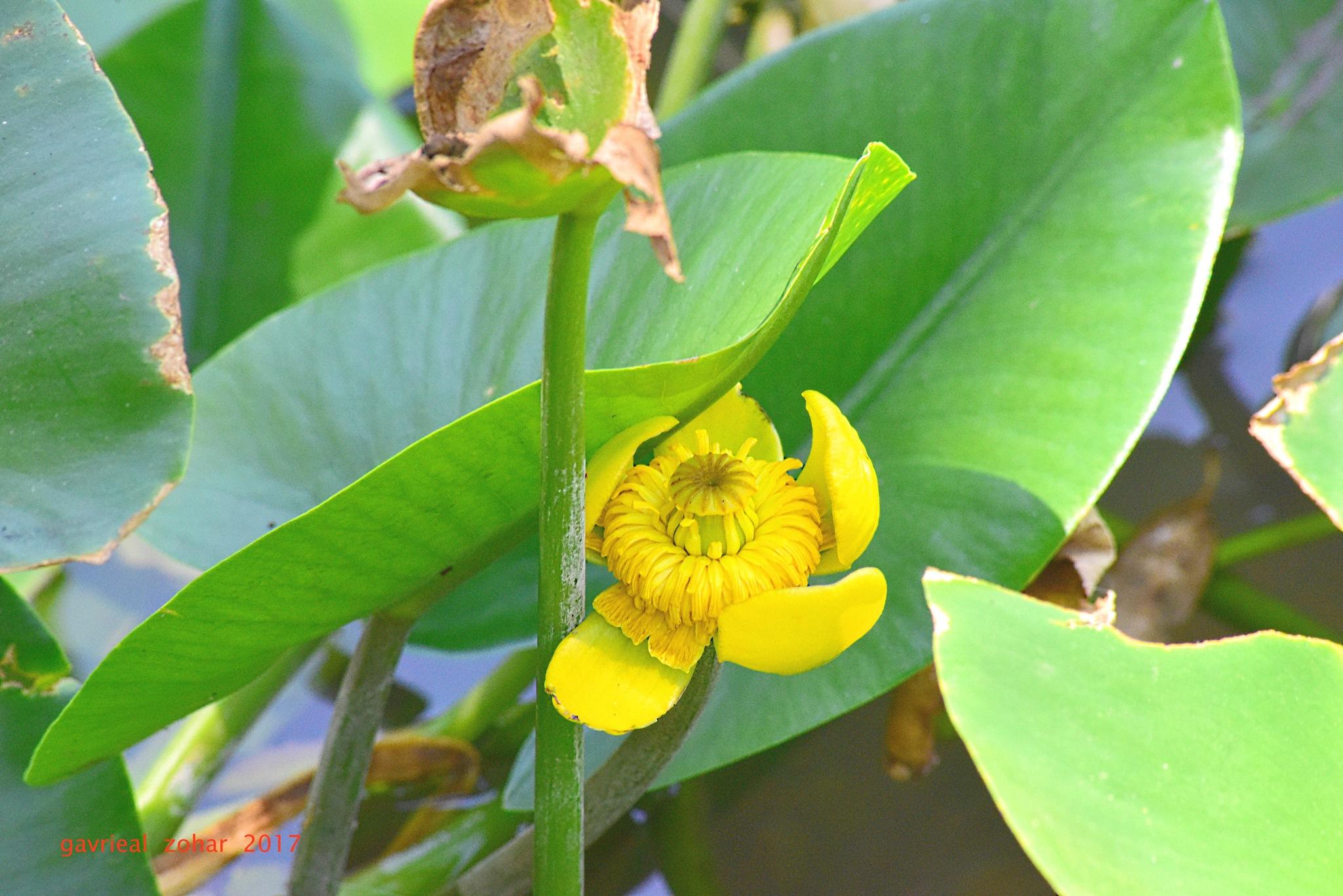 yellow water flower by gavriealzohar