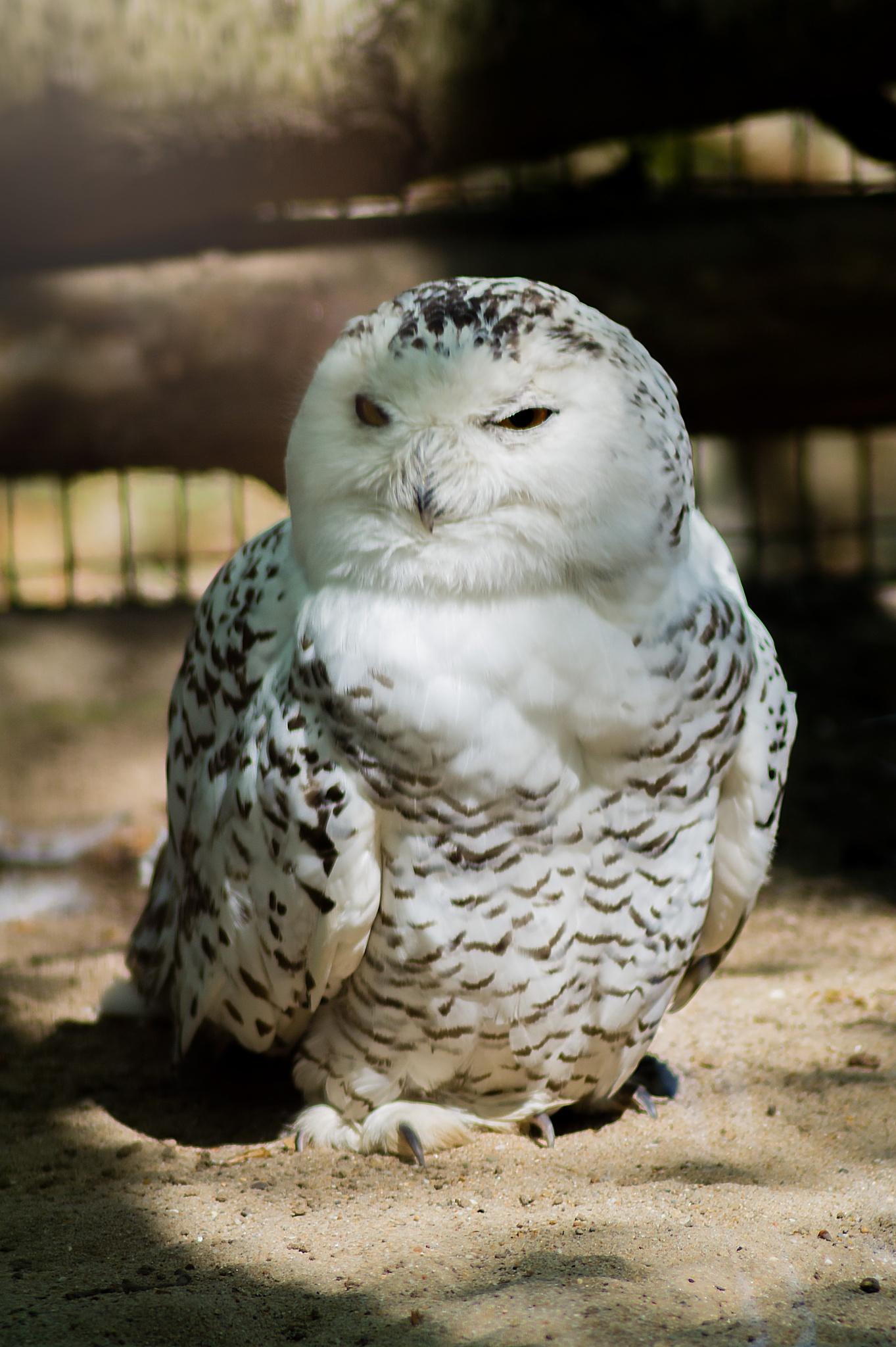 Snowy Owl by Mustafa Celebi